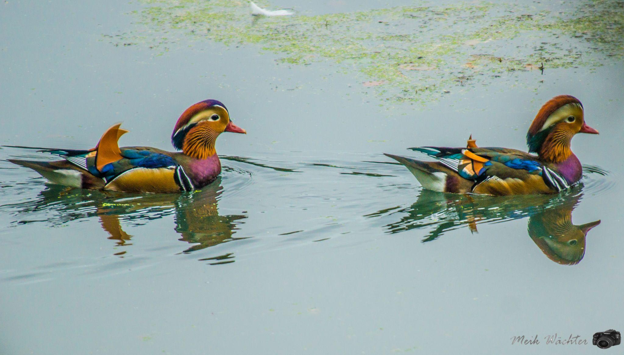 Mandarin Duck by Meik Wächter