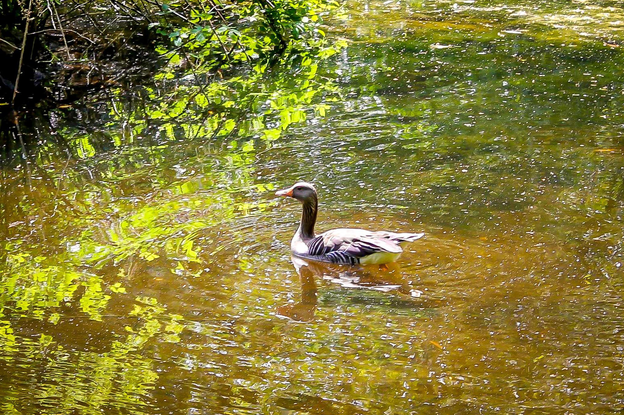 On Golden Pond by Petminder