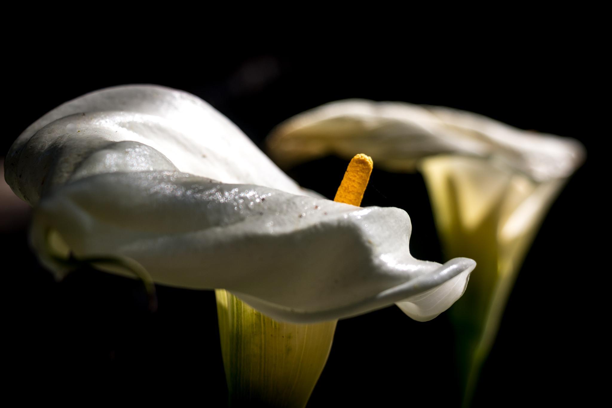 Cala Lily by Petminder