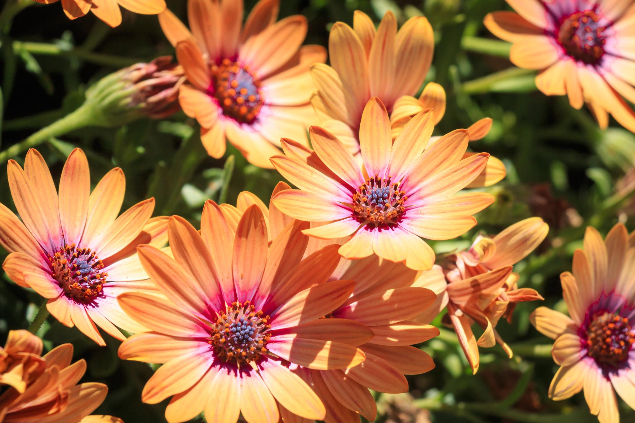 Colorful Daisies by Petminder