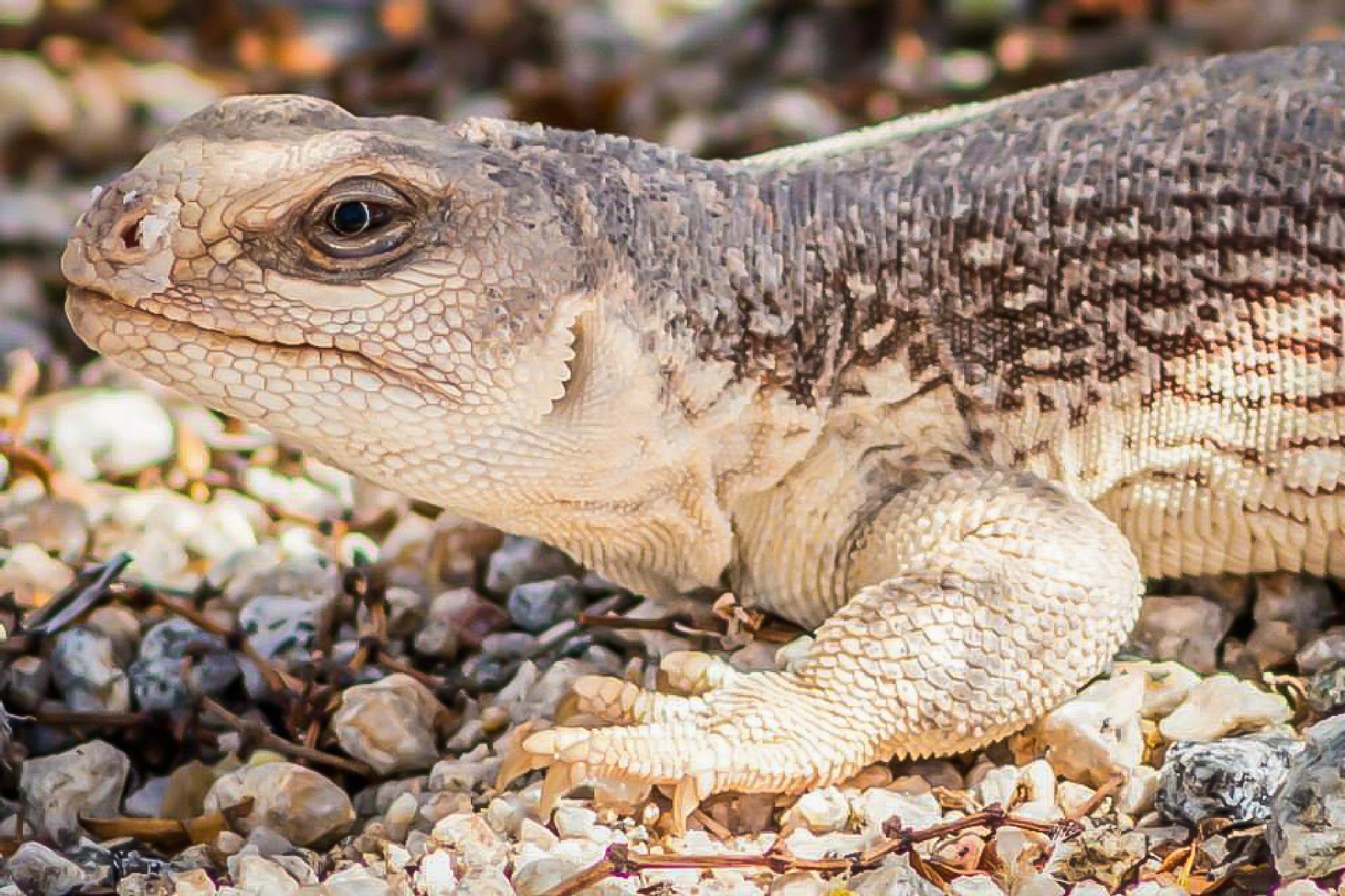 Iguana by Petminder