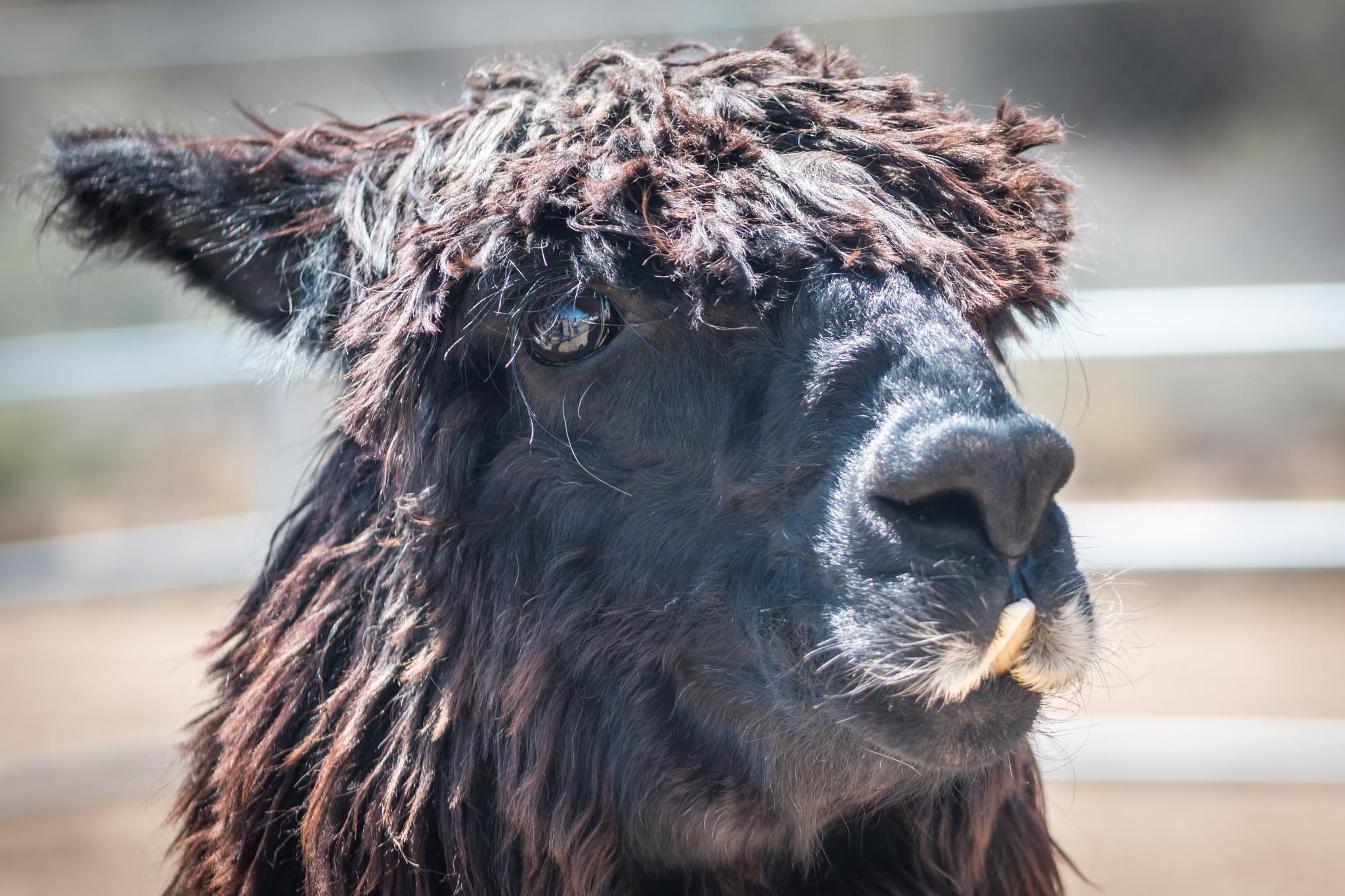 Bob The Alpaca by Petminder