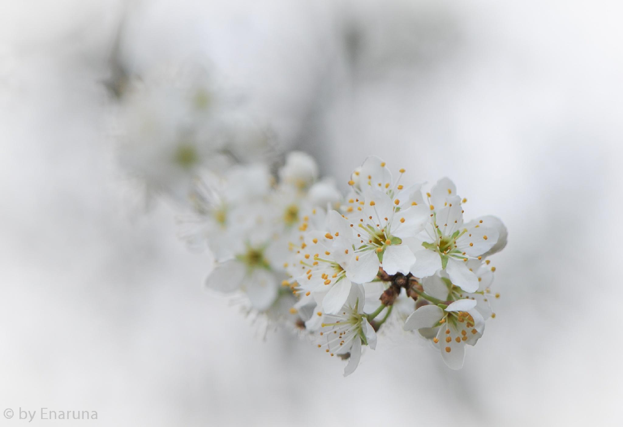 Cherry Blossoms by Enaruna
