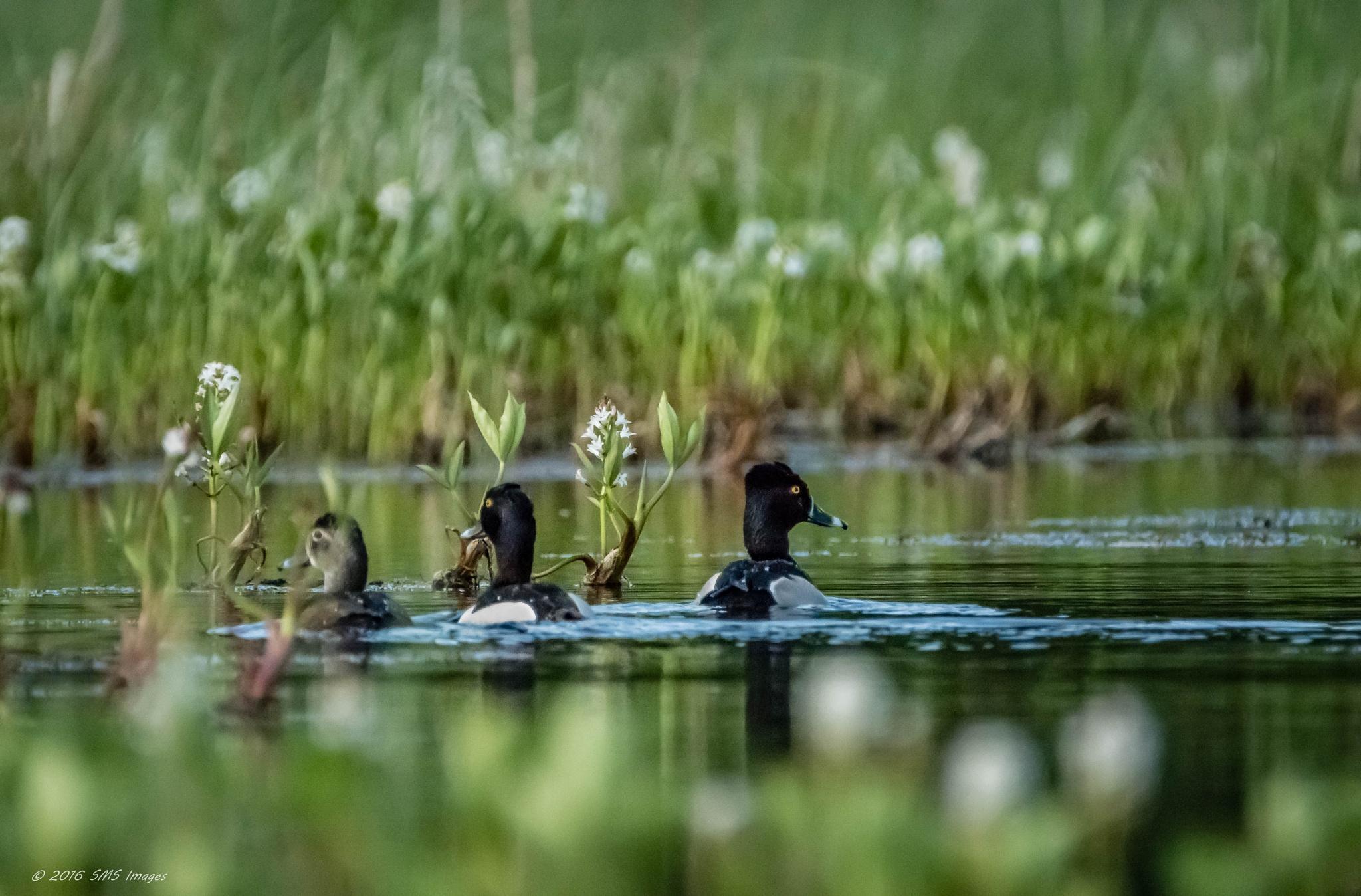 Photo in Nature #bird #birds #wild #wildlife #waterfowl #water #lake #swimming #reflection #nature