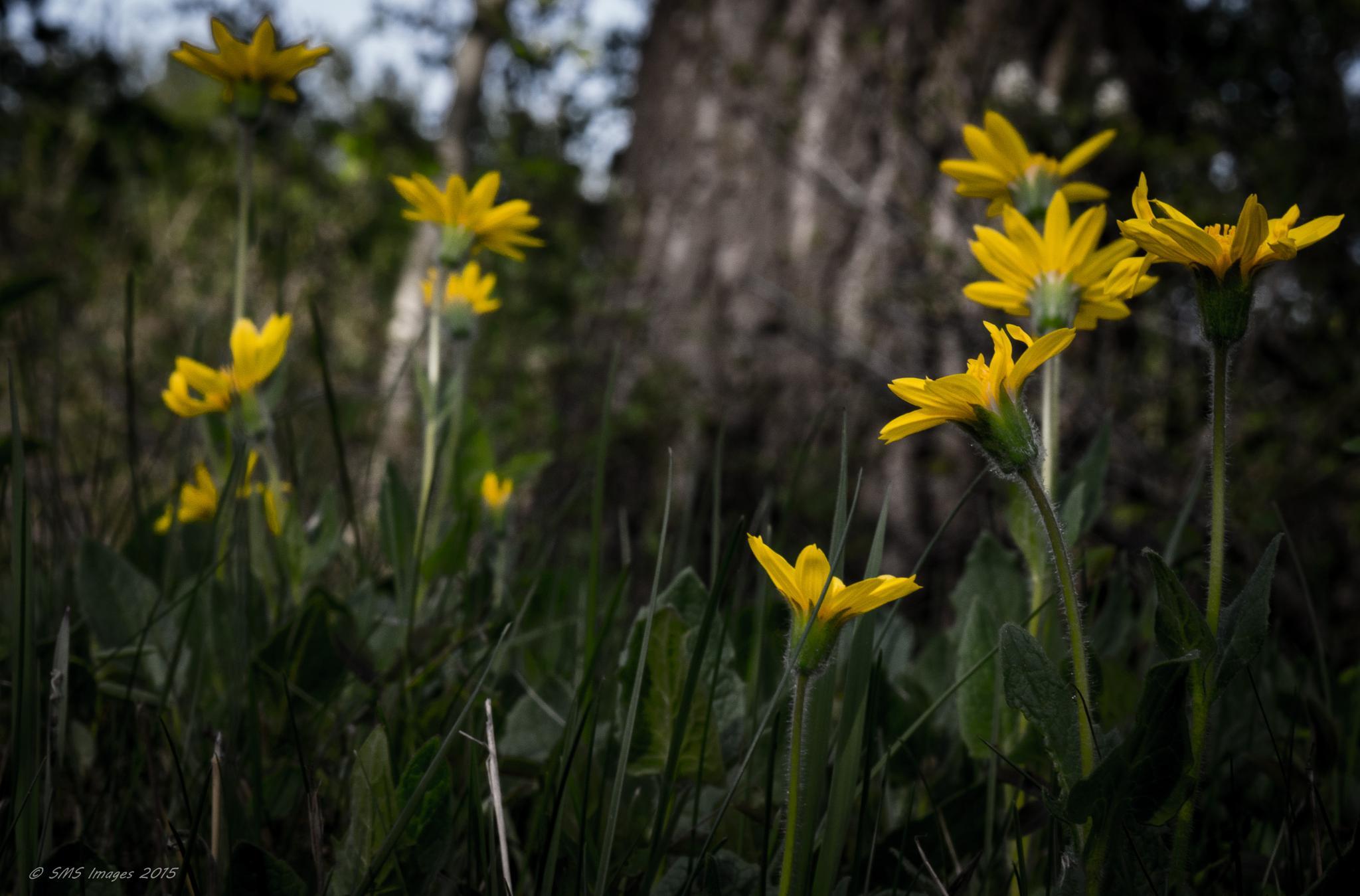 Wild Daisies! by SteveMumert