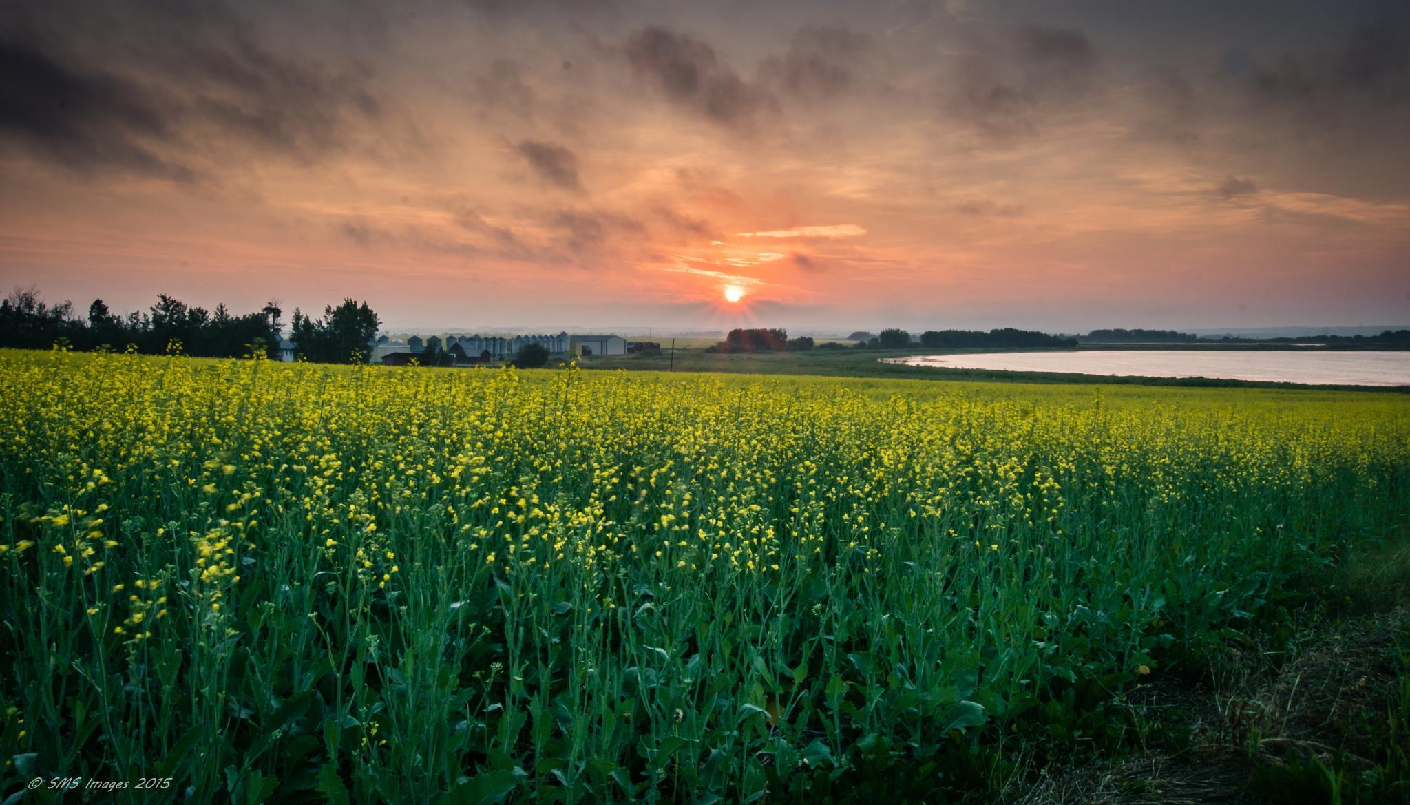 Canola Dawn by SteveMumert