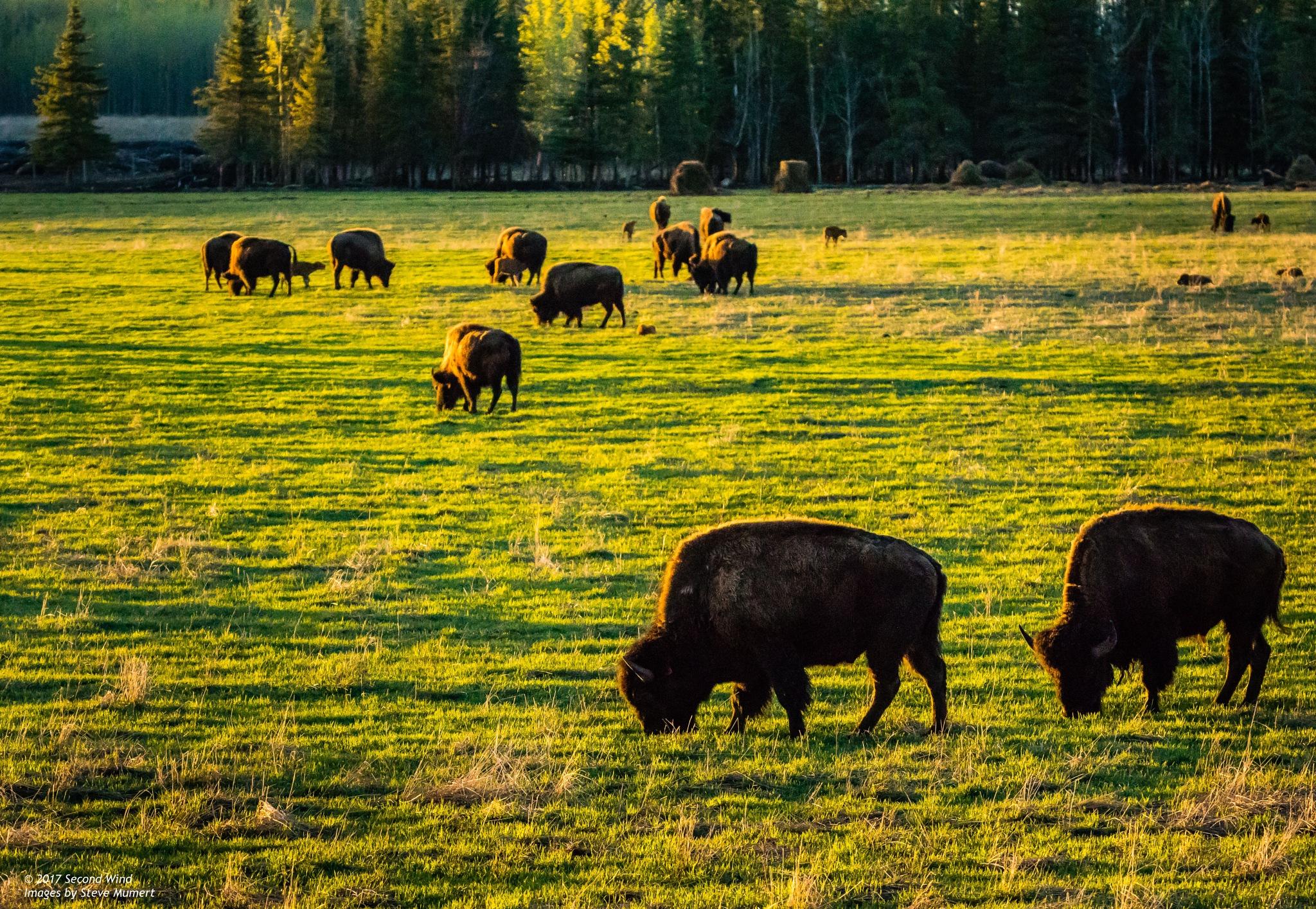 Pastoral Bison :-) by SteveMumert