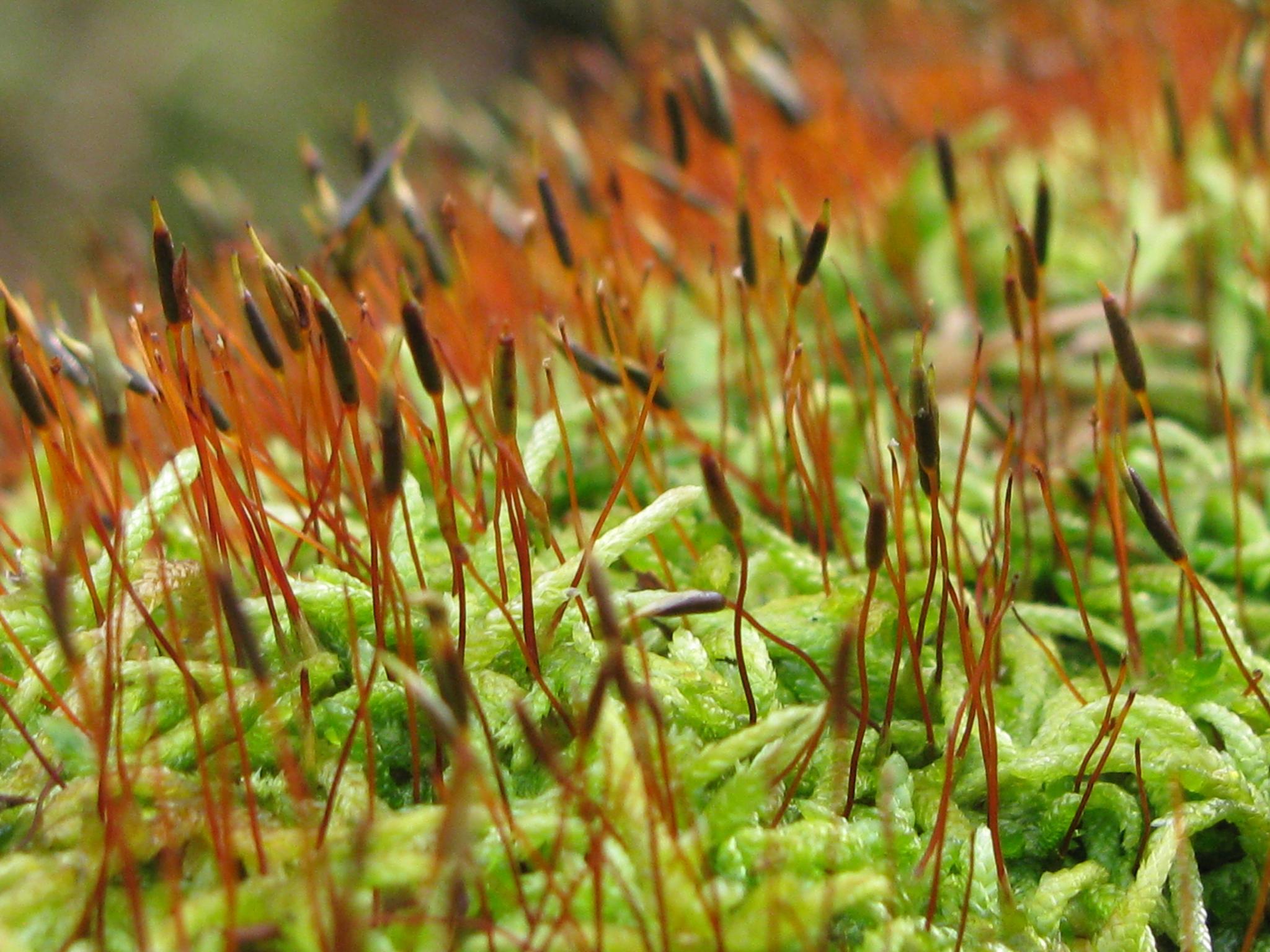 Club moss by caryllc