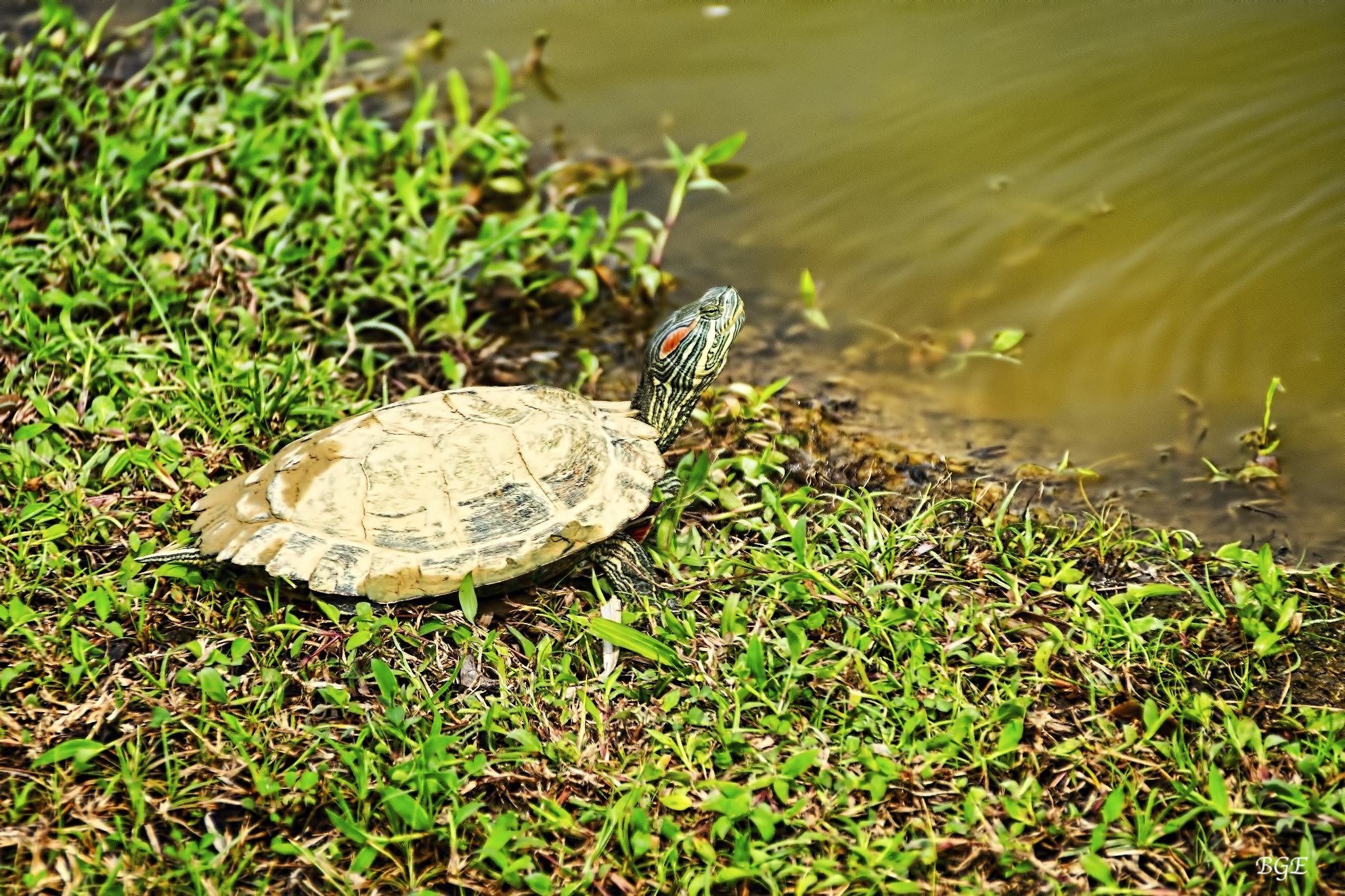 Slider Turtle by Brian