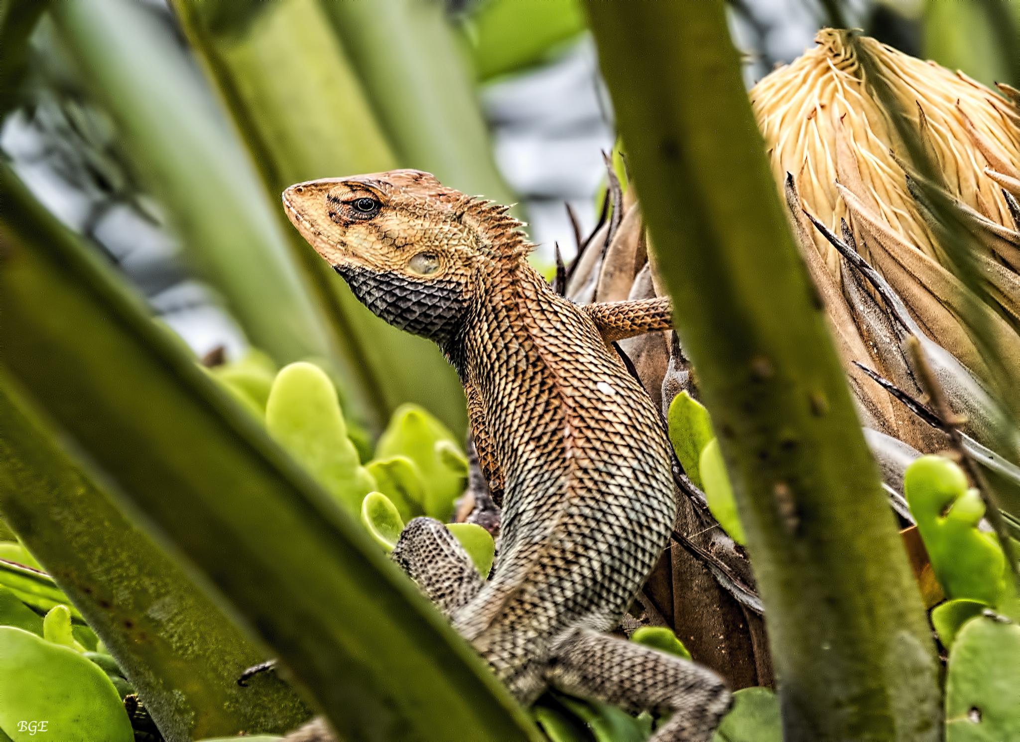 Garden Lizard by Brian