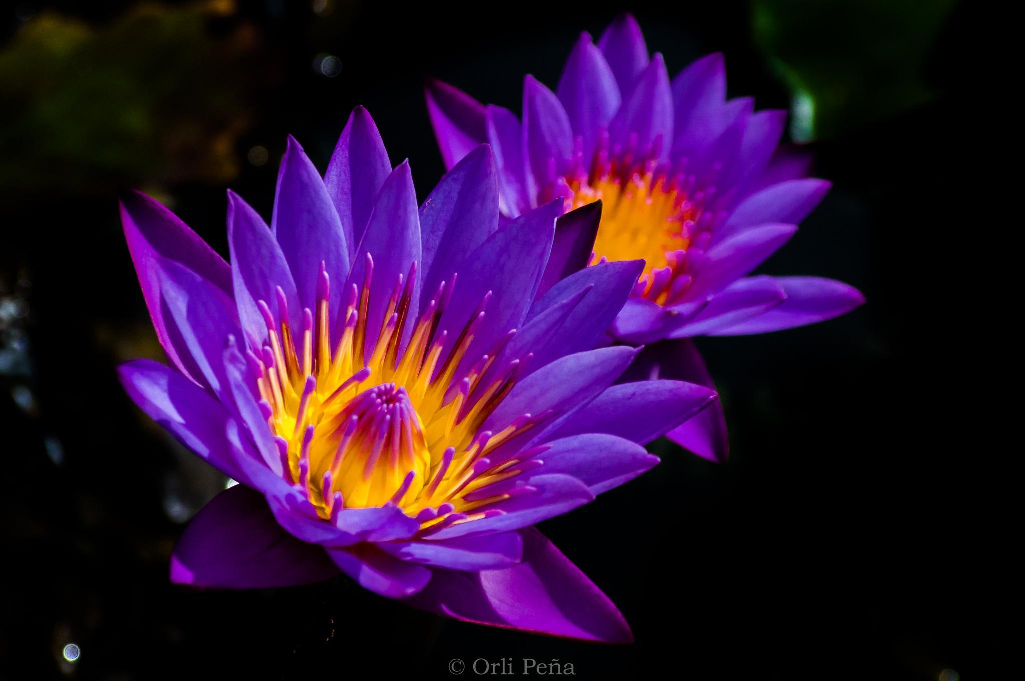 Florecer  by orlipena