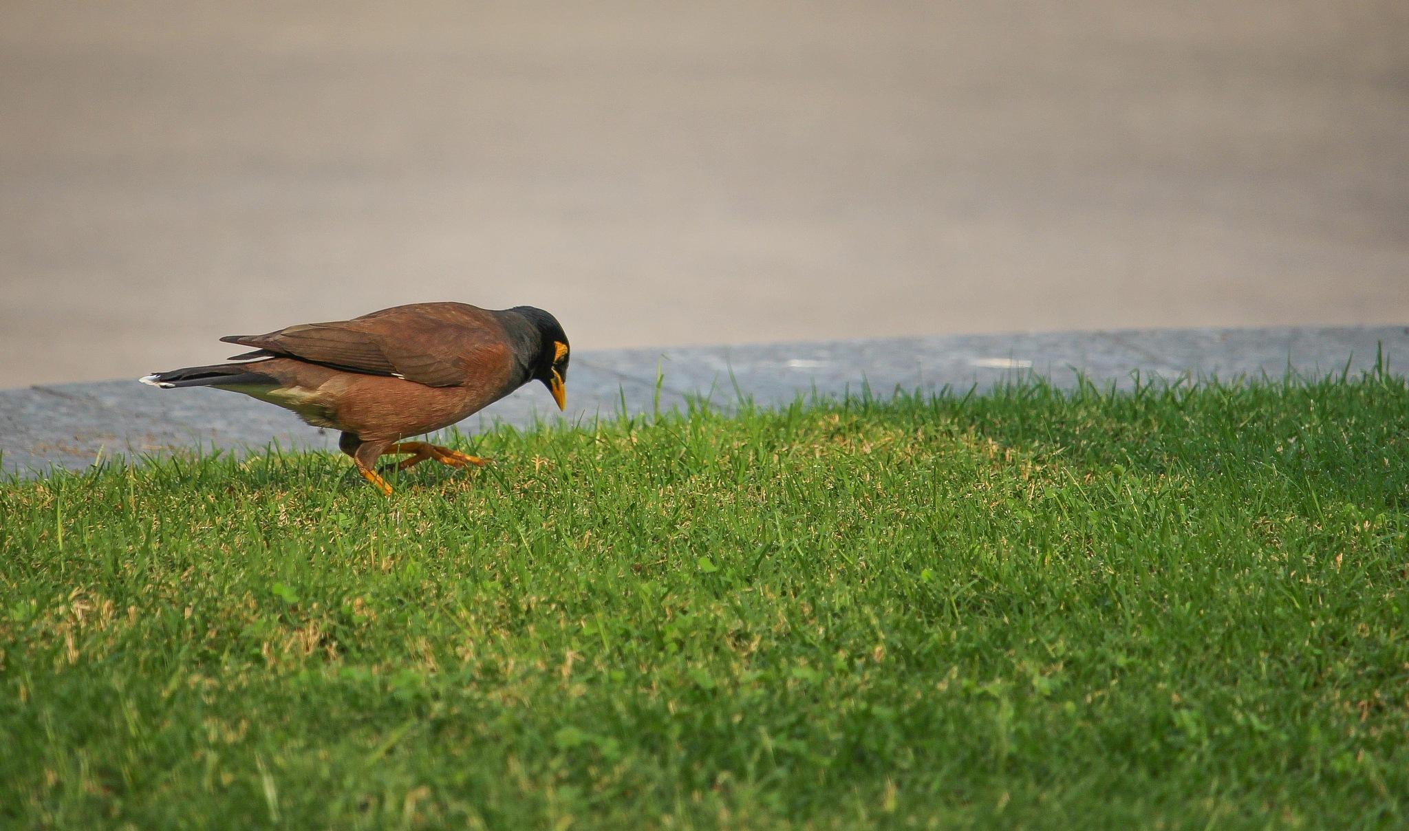 Bangladeshi Starling by shopno