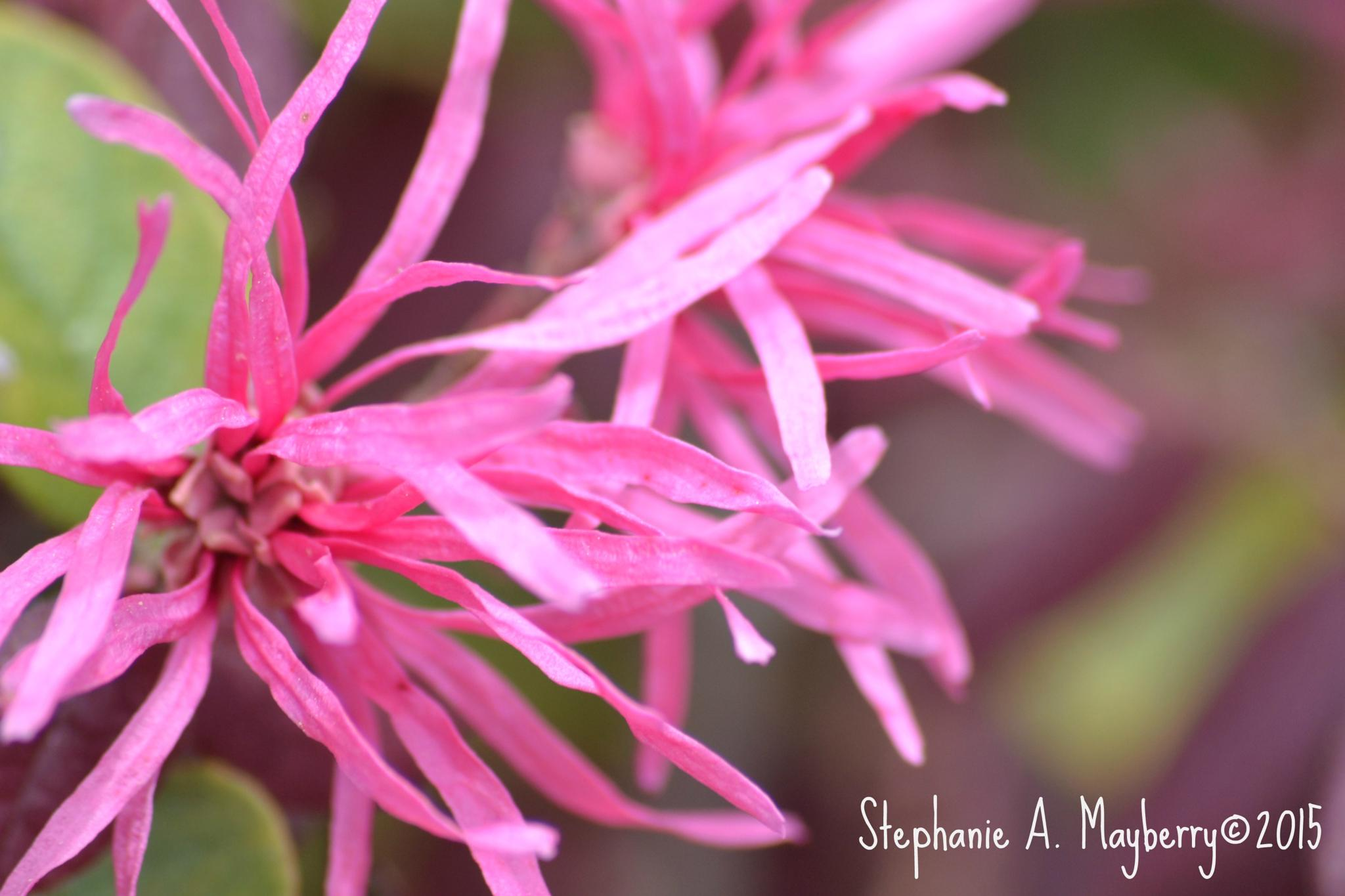 Pink Lace by stephanie.a.mayberry