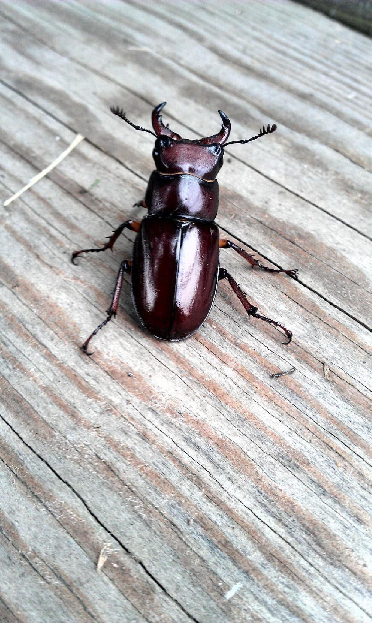 Beetle by dianne.boyer