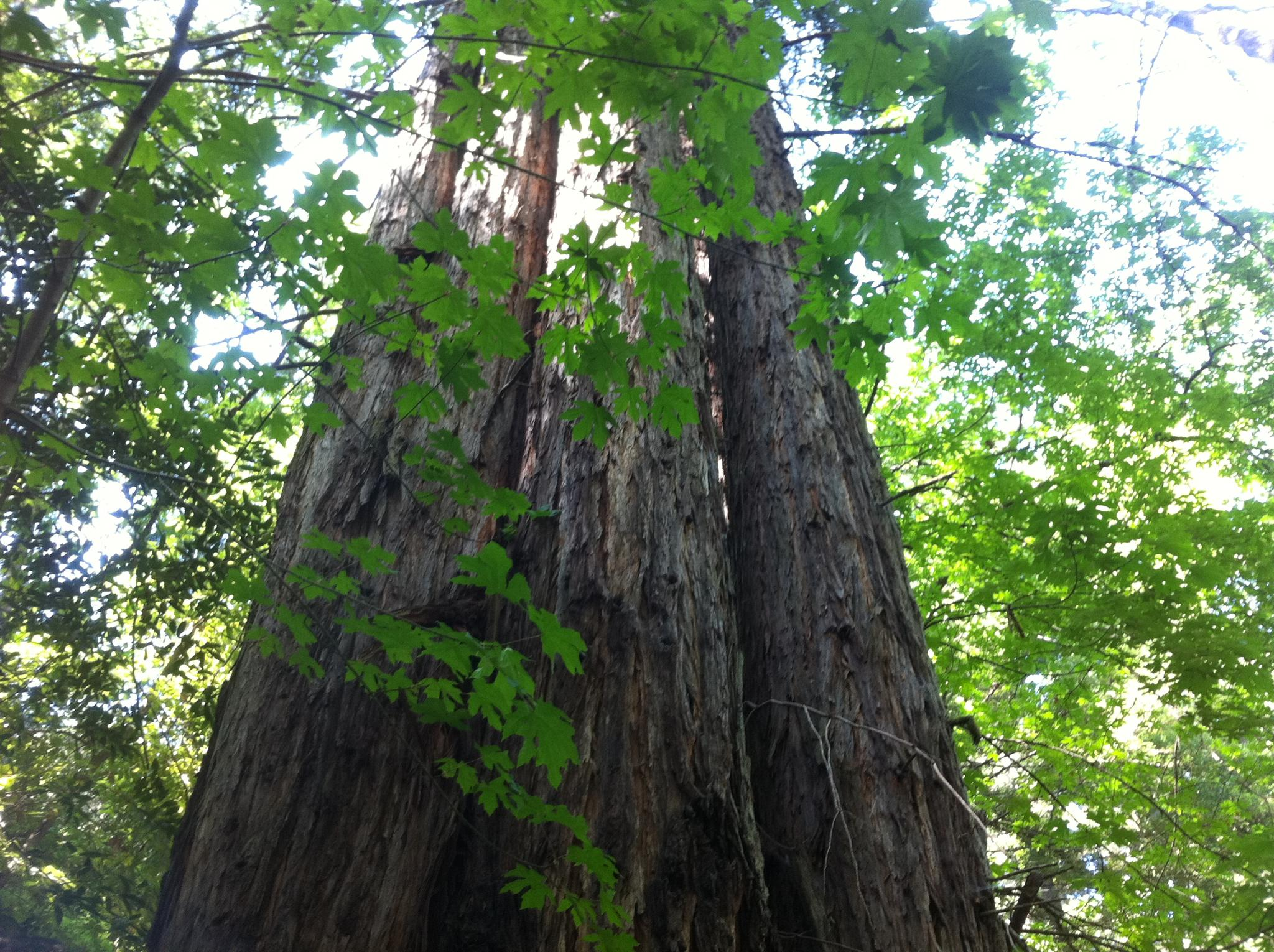 Redwoods by Tigerbythetail
