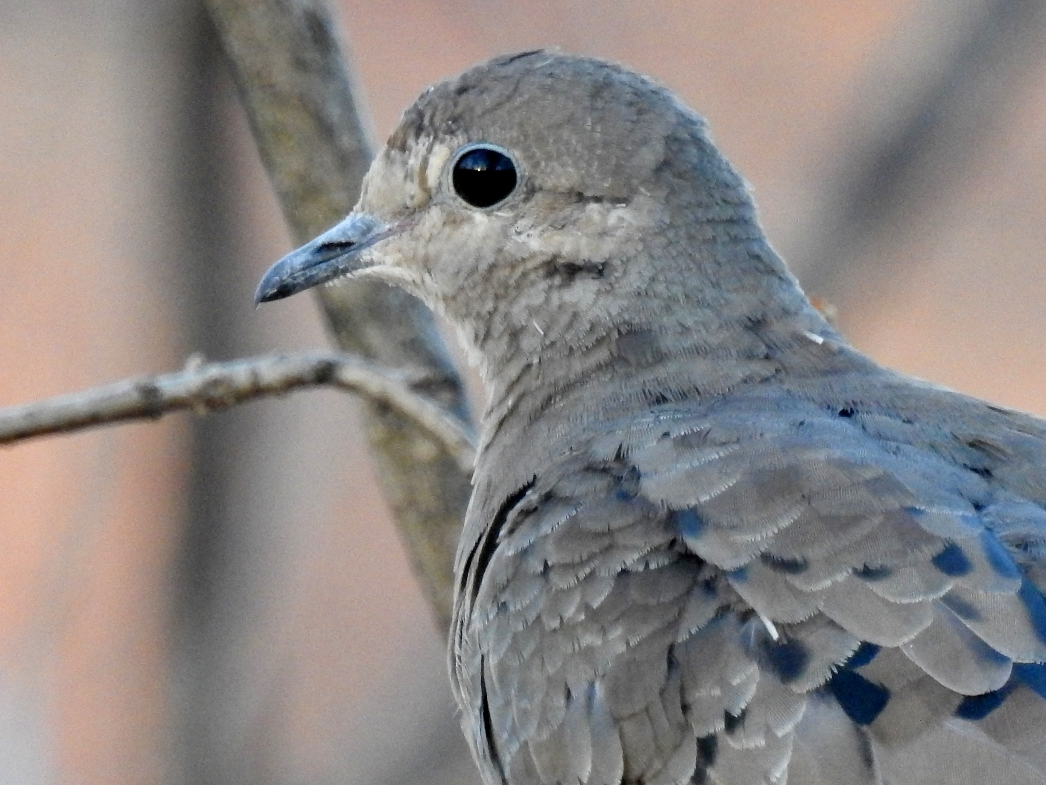 Mourning dove by carol.capozzi.18
