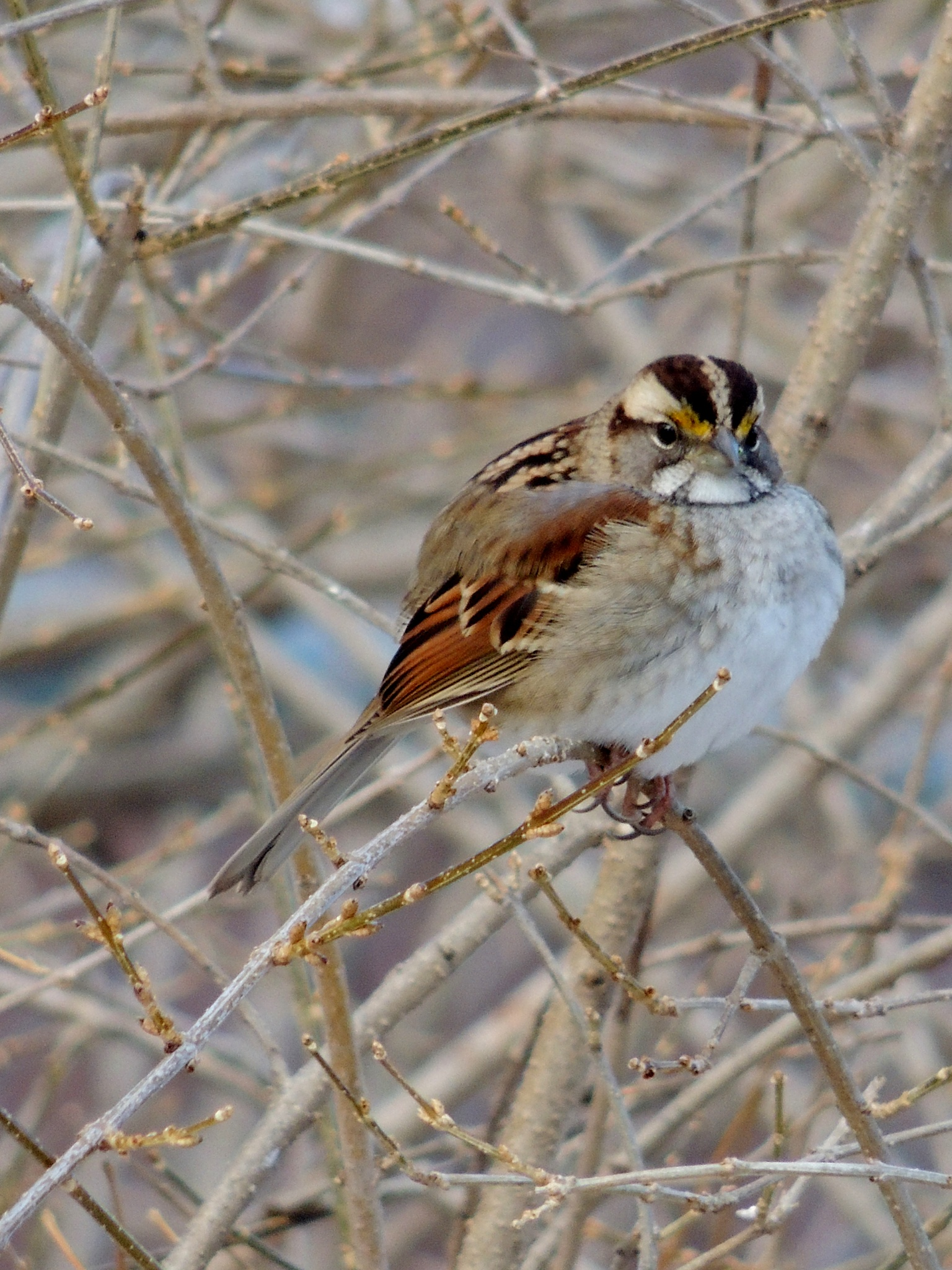 White-throated Sparrow by carol.capozzi.18