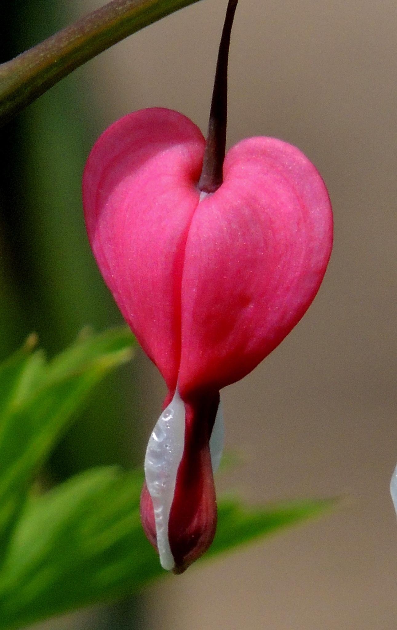 Bleeding Heart by carol.capozzi.18