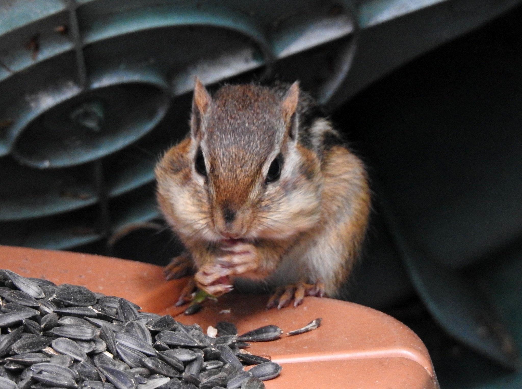 Photo in Animal #animal #chipmunk #nature