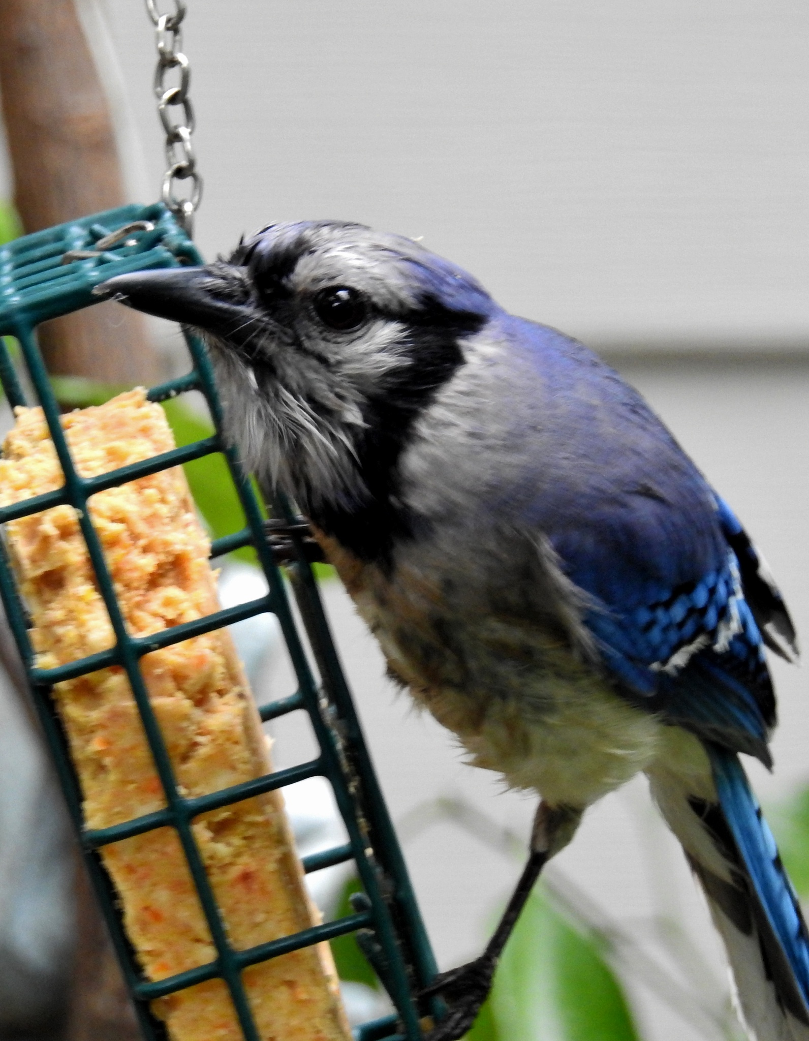 Photo in Animal #animal #bird #bluejay #nature