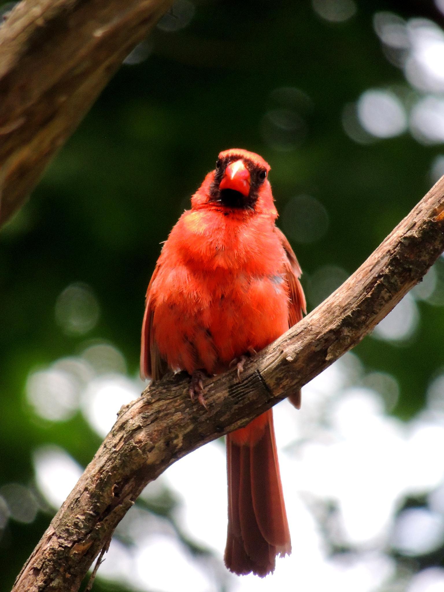 Gtumpy Cardinal by carol.capozzi.18
