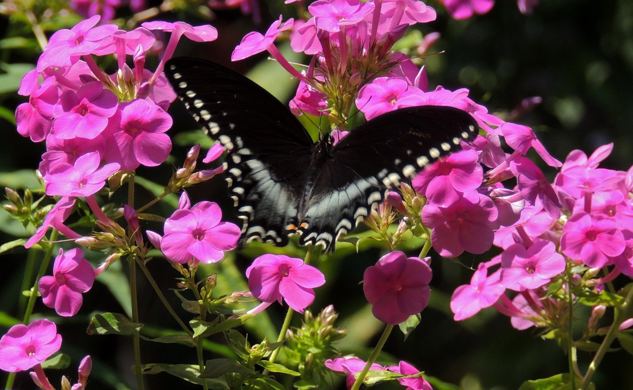Butterfly on Phlox by carol.capozzi.18