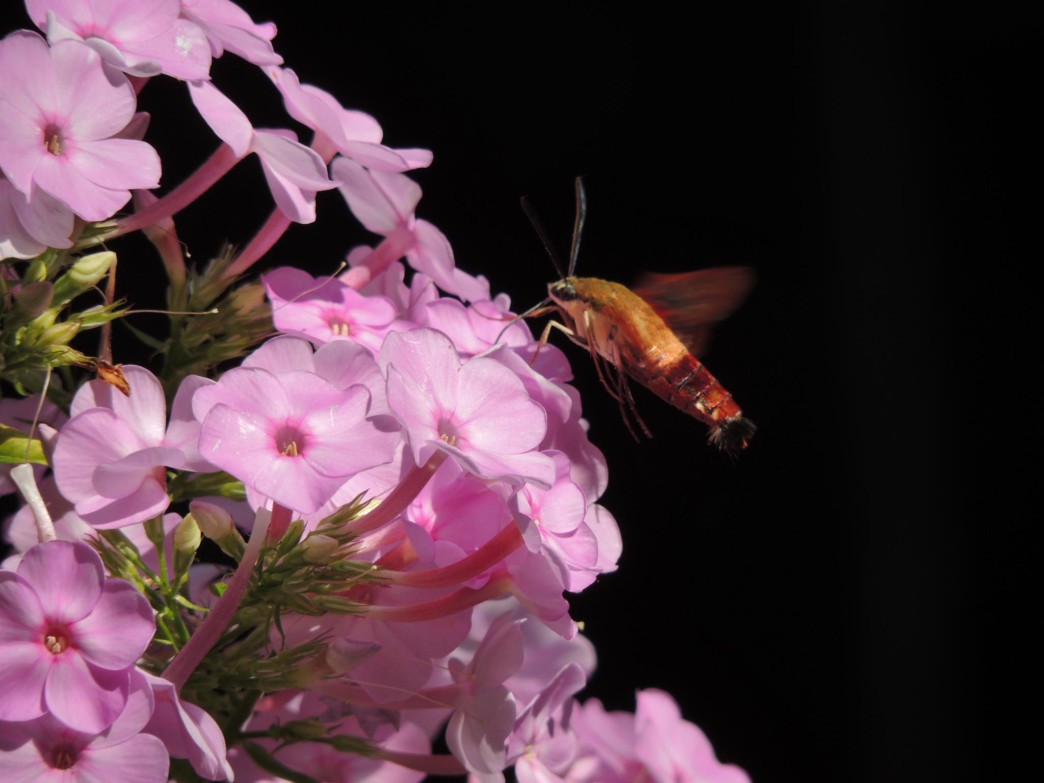 Hummingbird moth by carol.capozzi.18