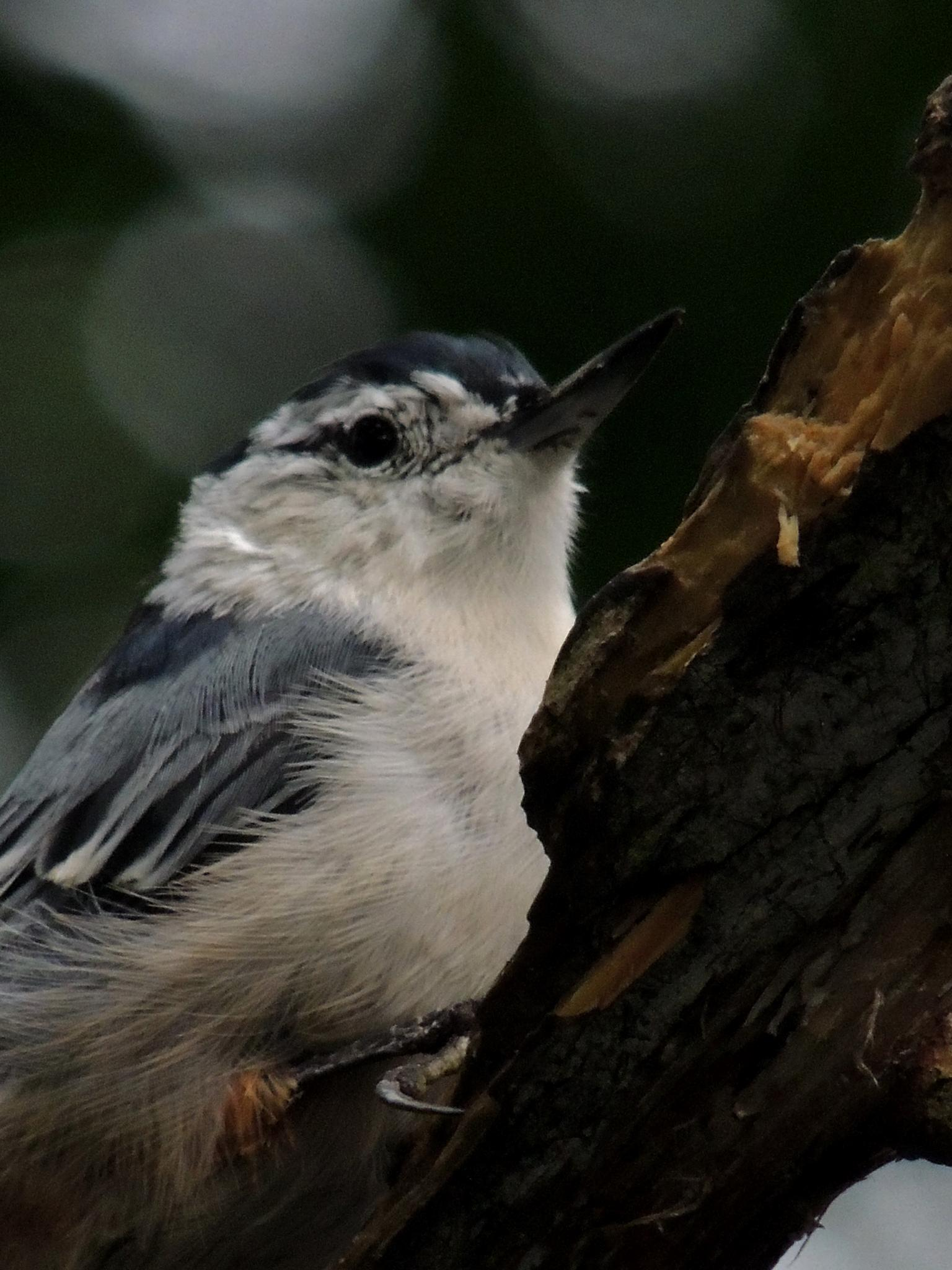Nuthatch by carol.capozzi.18