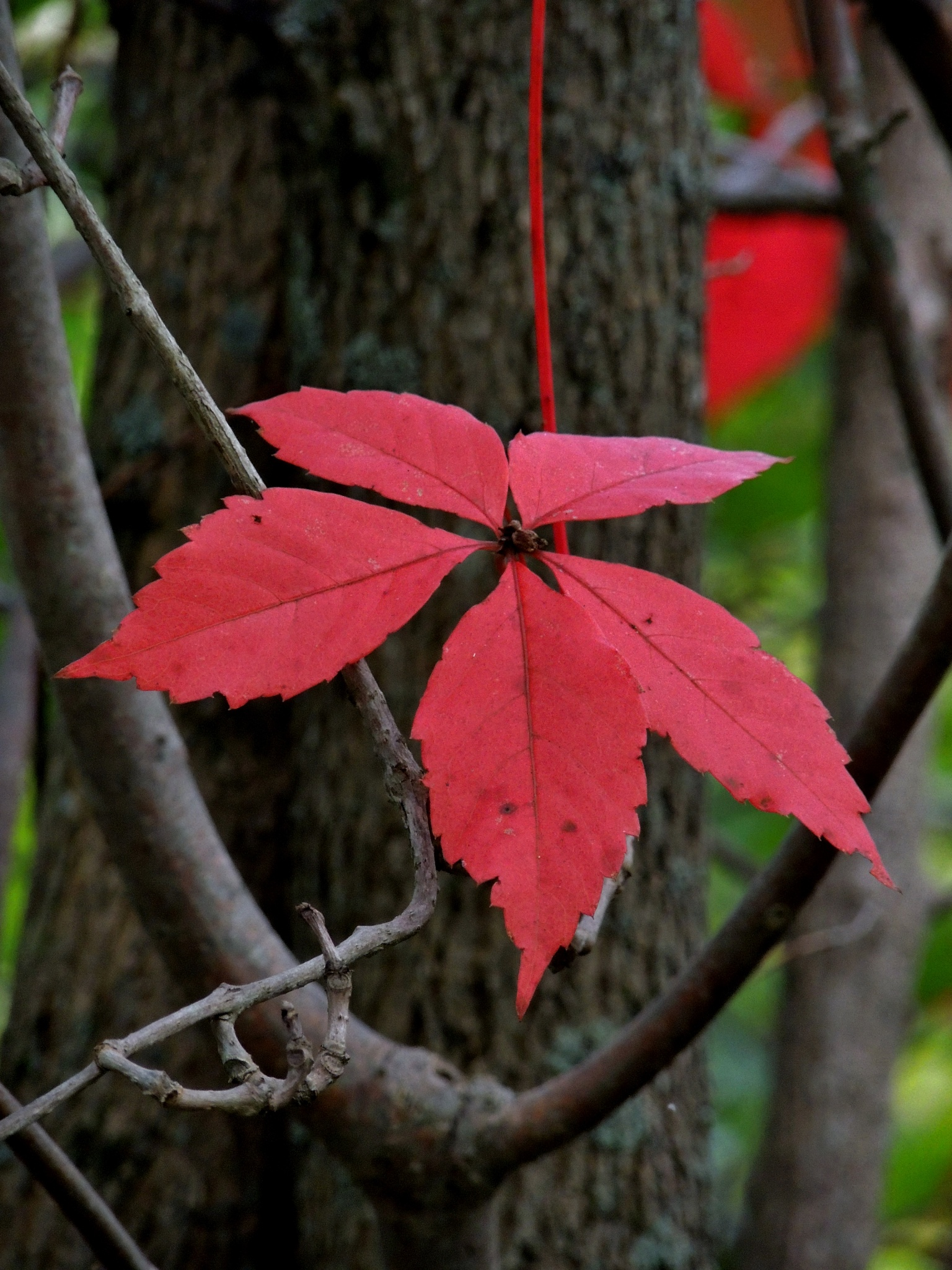 Red Leaves by carol.capozzi.18