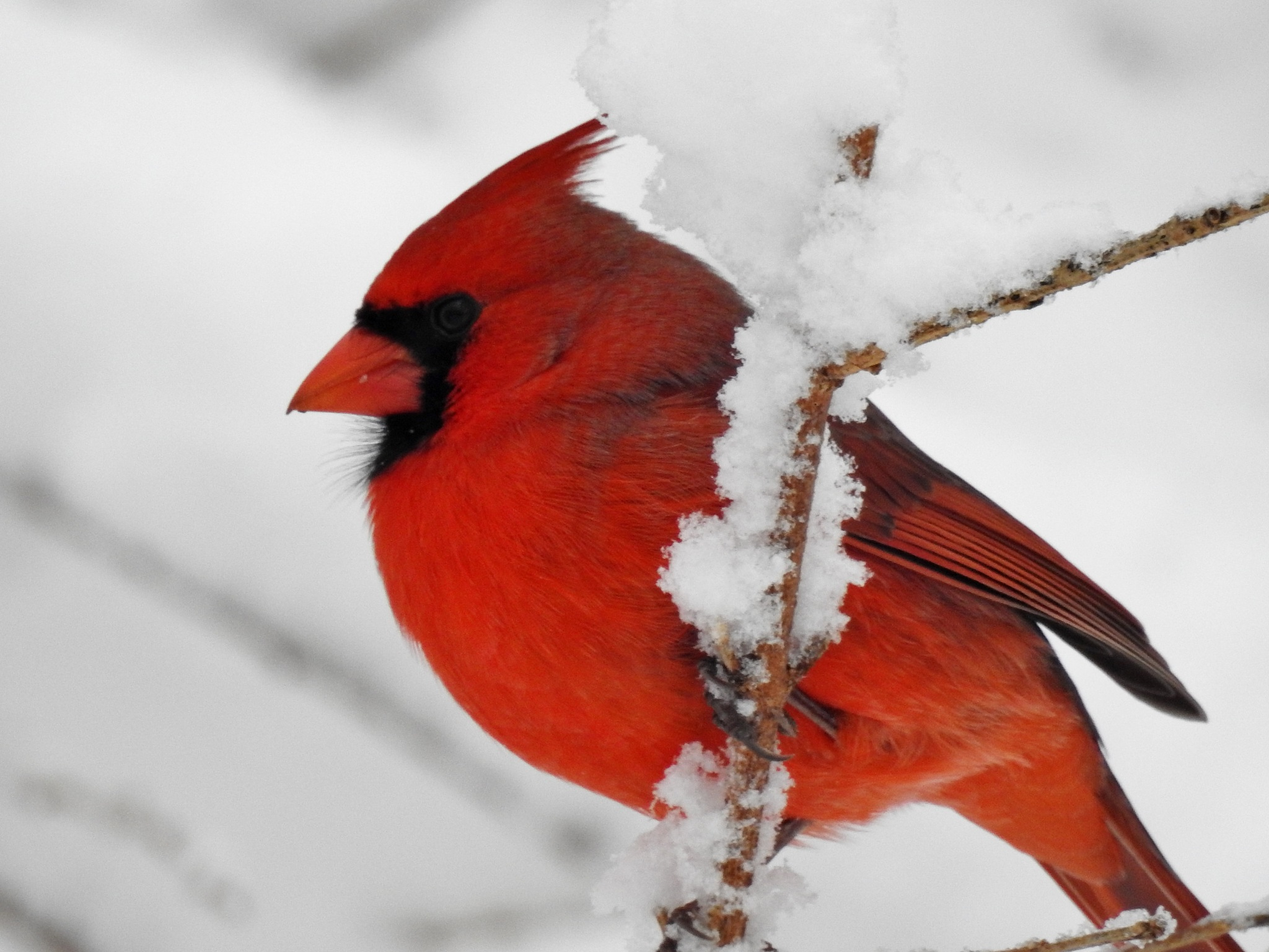 Cardinal in the Snow by carol.capozzi.18