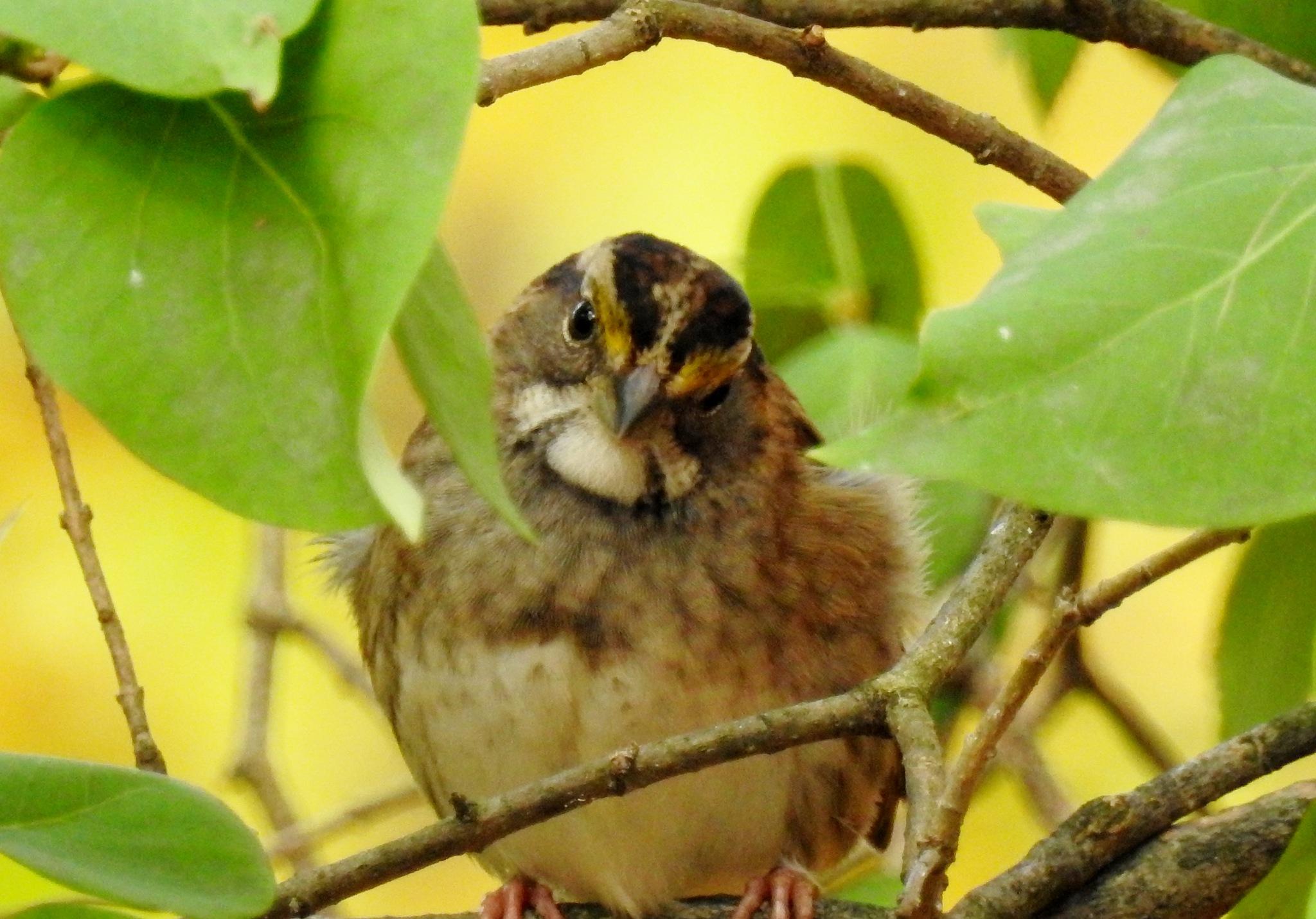 White throated sparrow by carol.capozzi.18