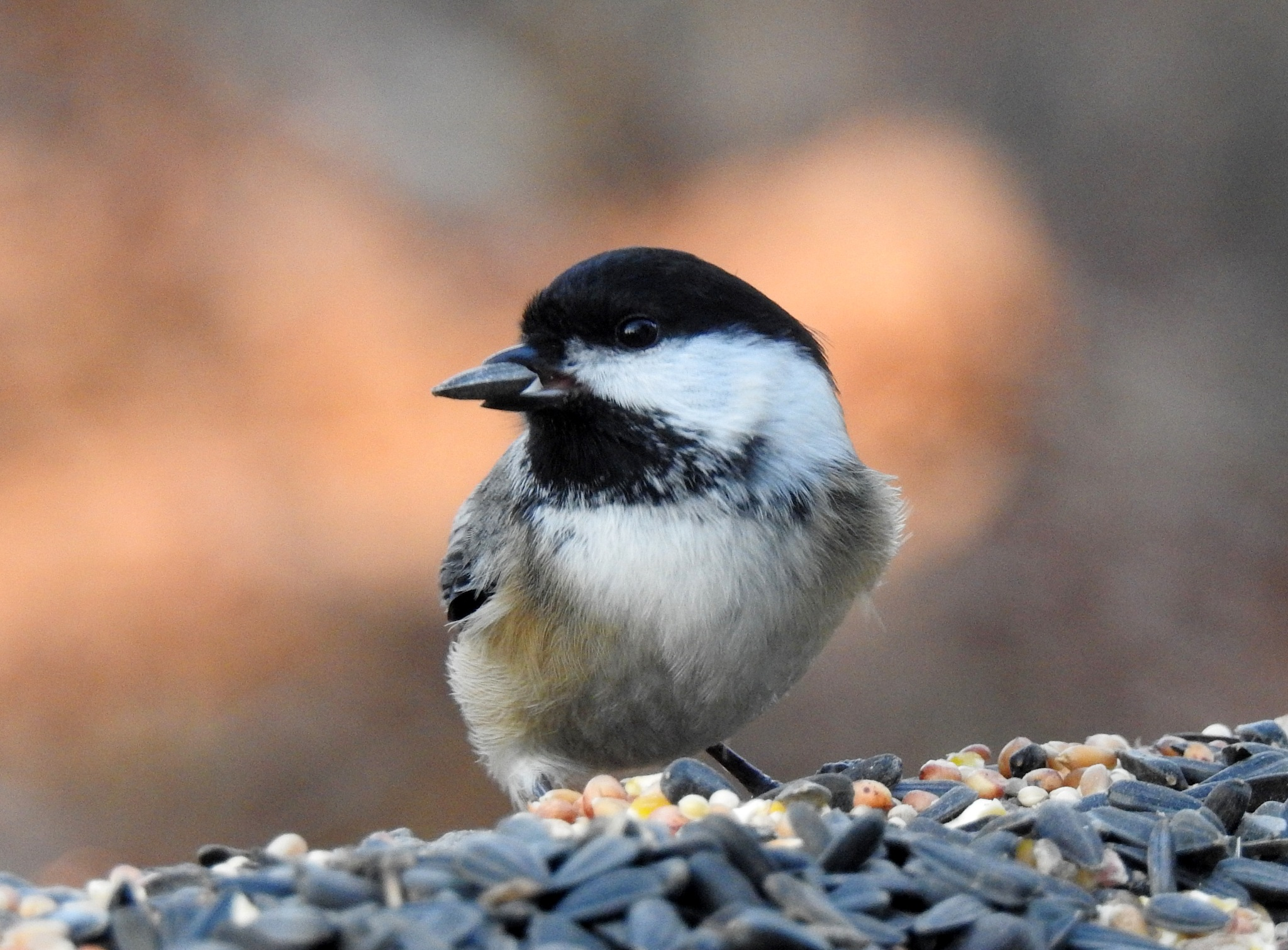 Chickadee by carol.capozzi.18