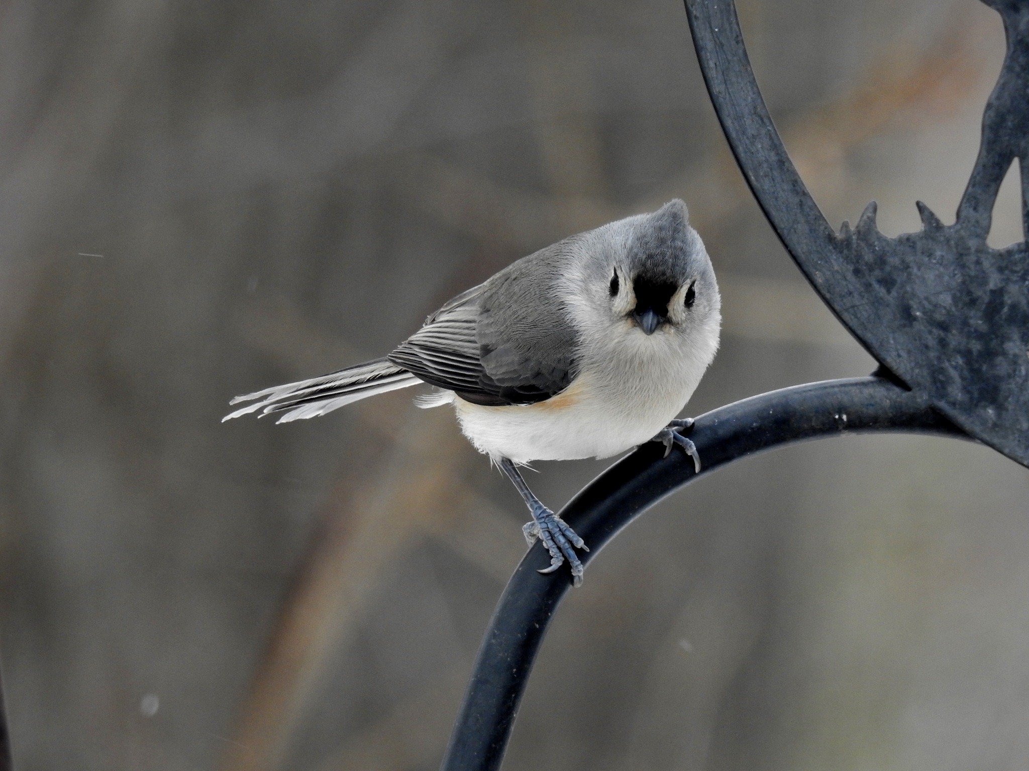Tufted titmouse by carol.capozzi.18