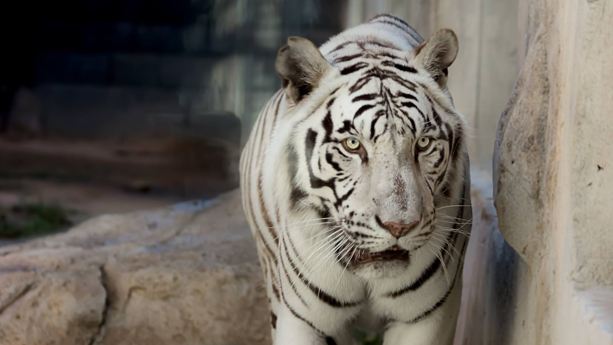 White Tiger Look by Wissam Shehade