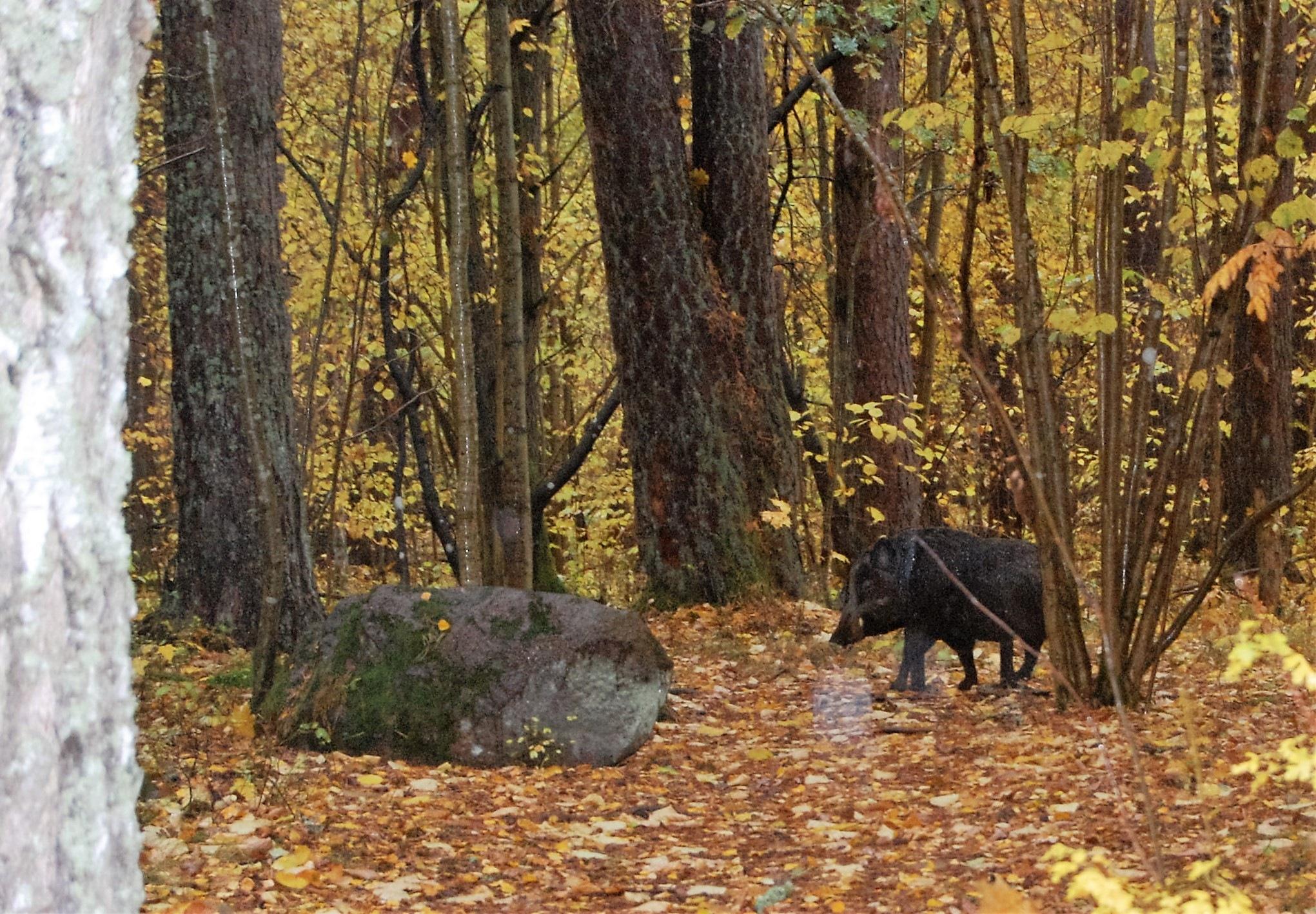 Wild boar by lillemor.ekstrom ek