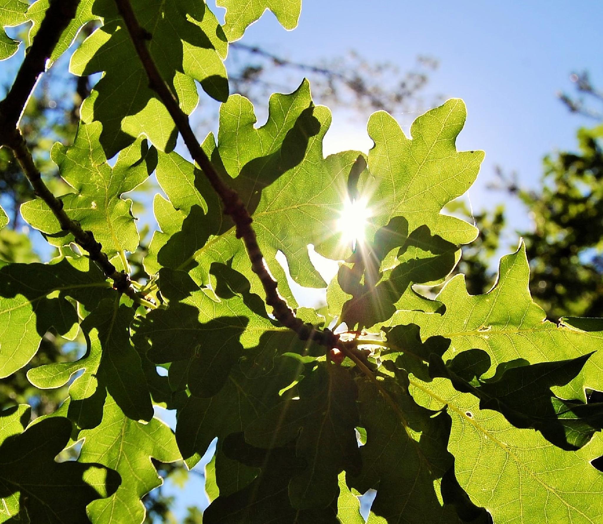 Sunlit oak leaves by lillemor.ekstrom ek