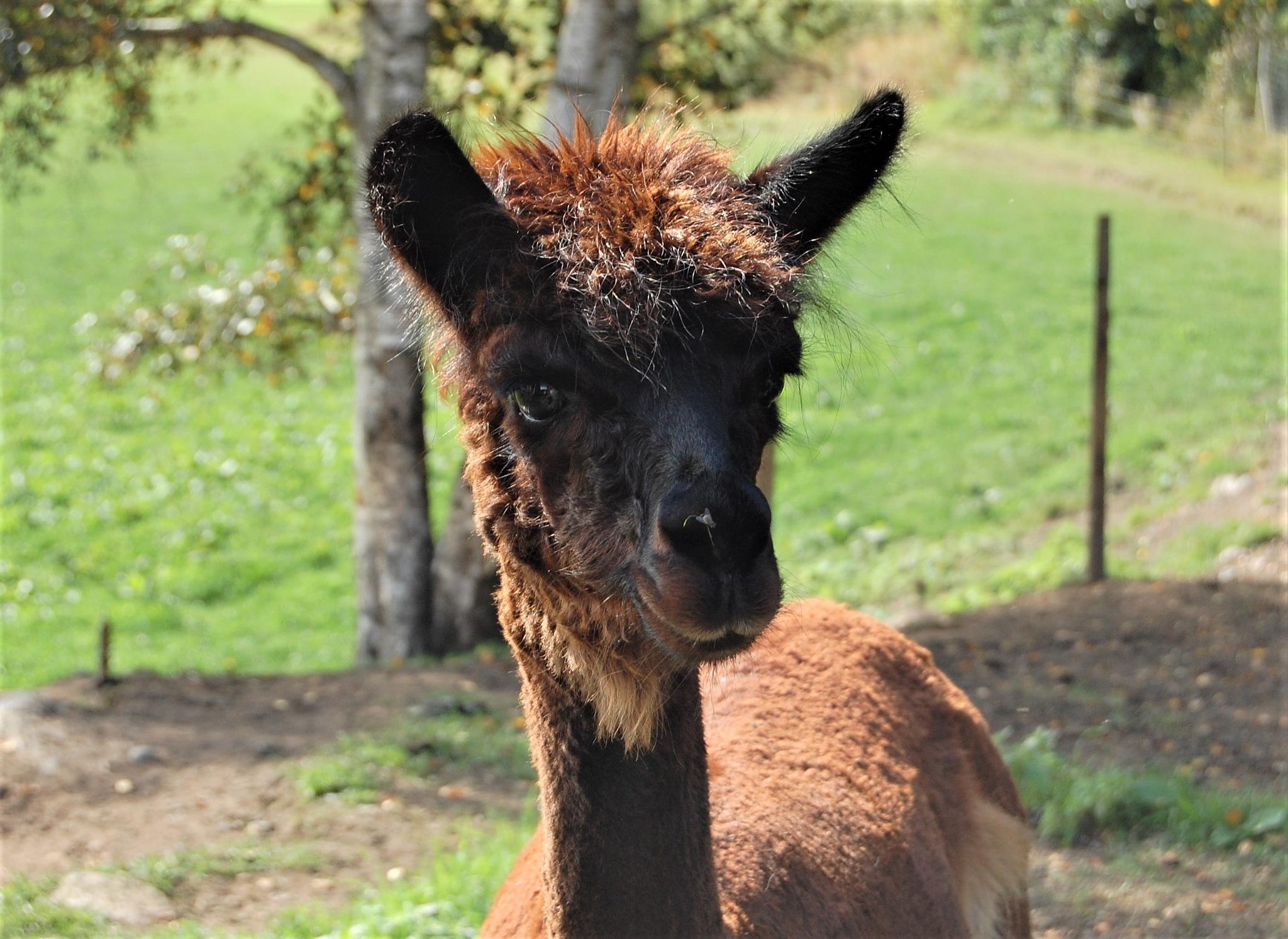 Sweet alpaca by lillemor.ekstrom ek
