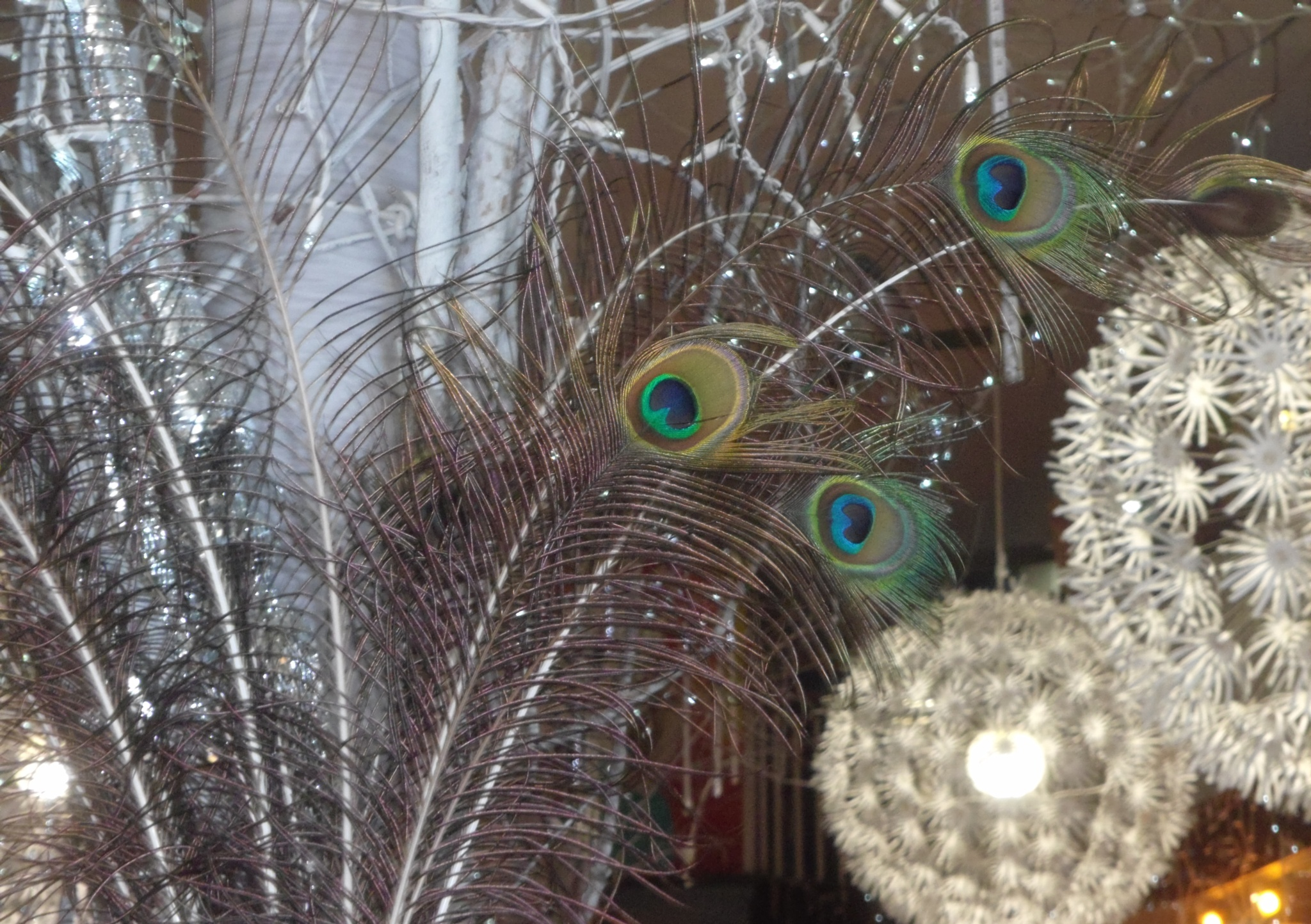 Peacock Feathers by beverly.cialone