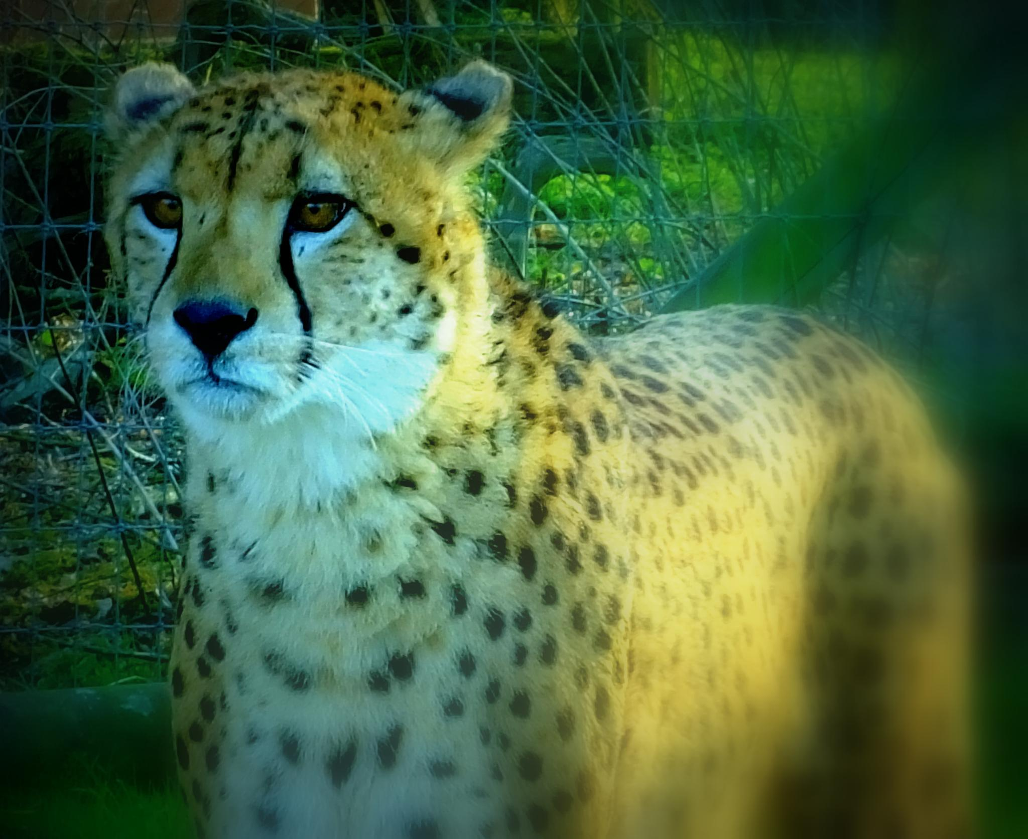Cheetah.... by Lee Ackers