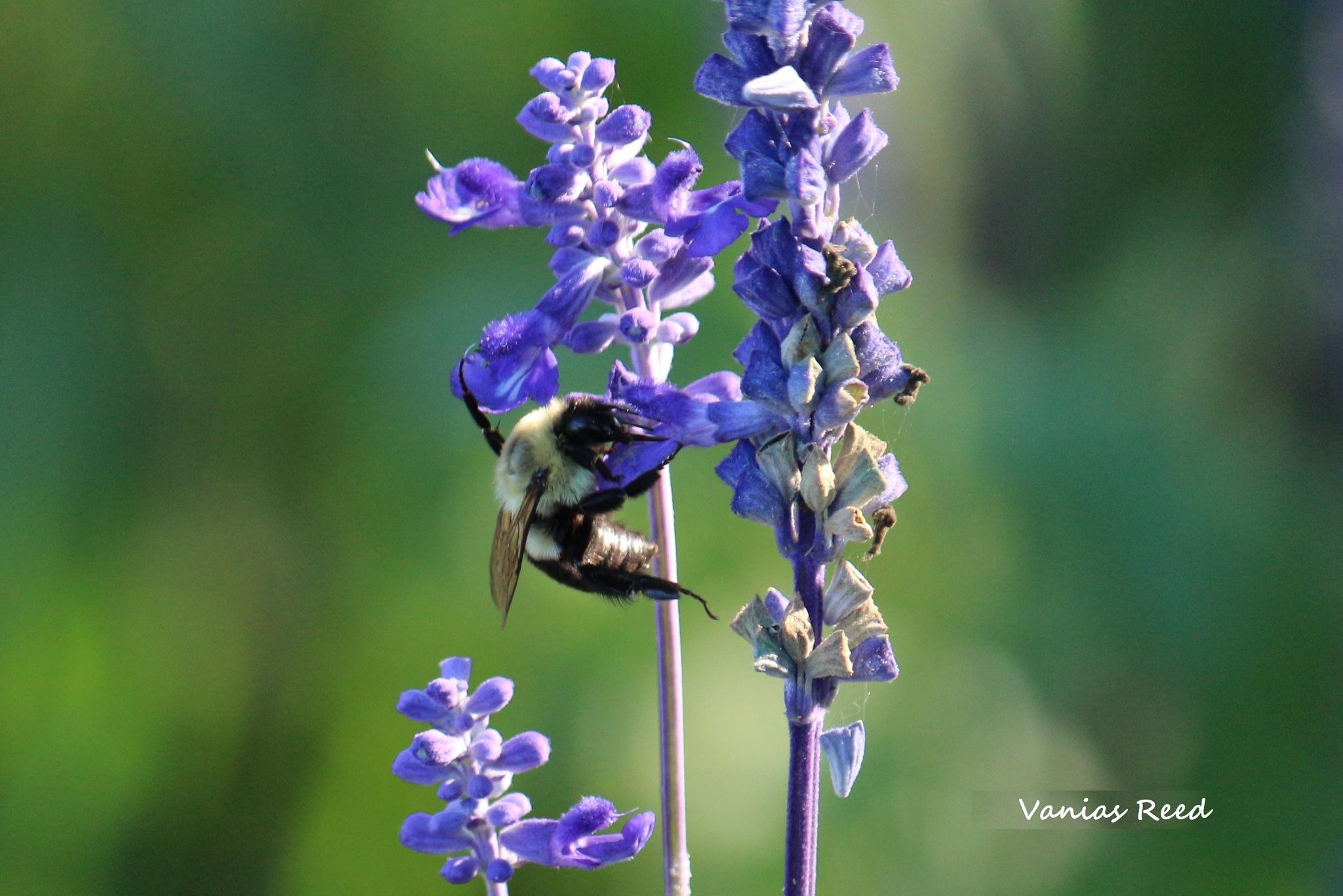Bee on Lavender by Mrs.vaniasreed