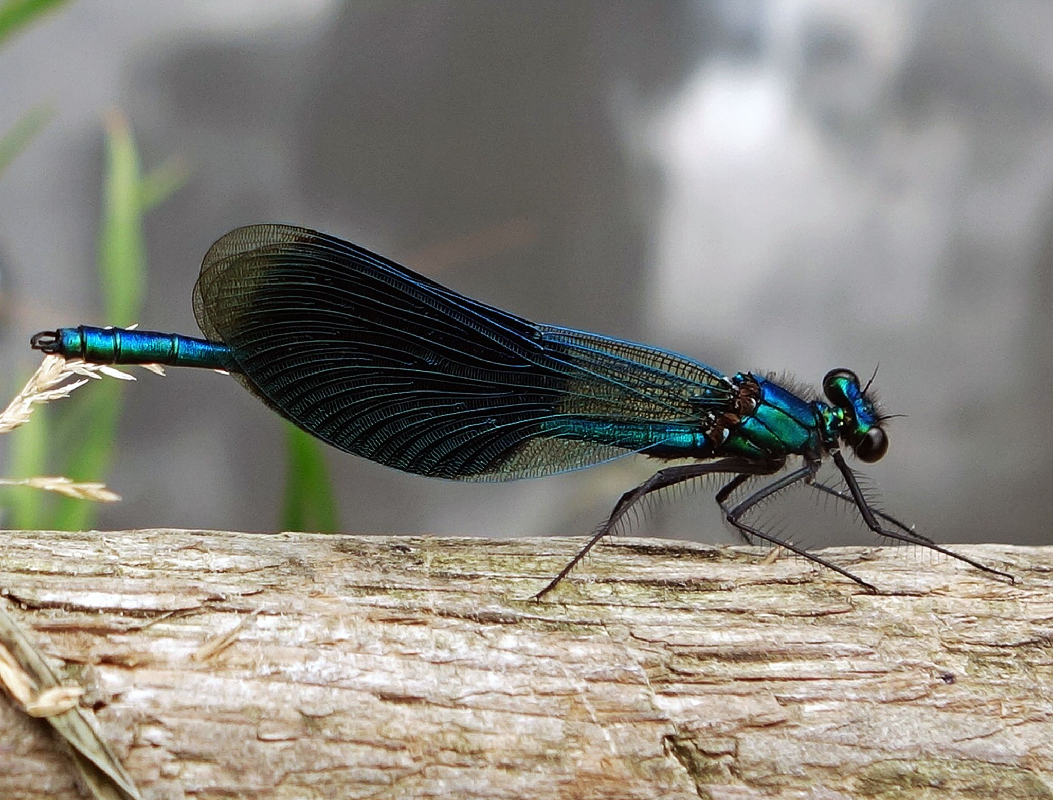 Dragonfly in Odijk by hugodejong35