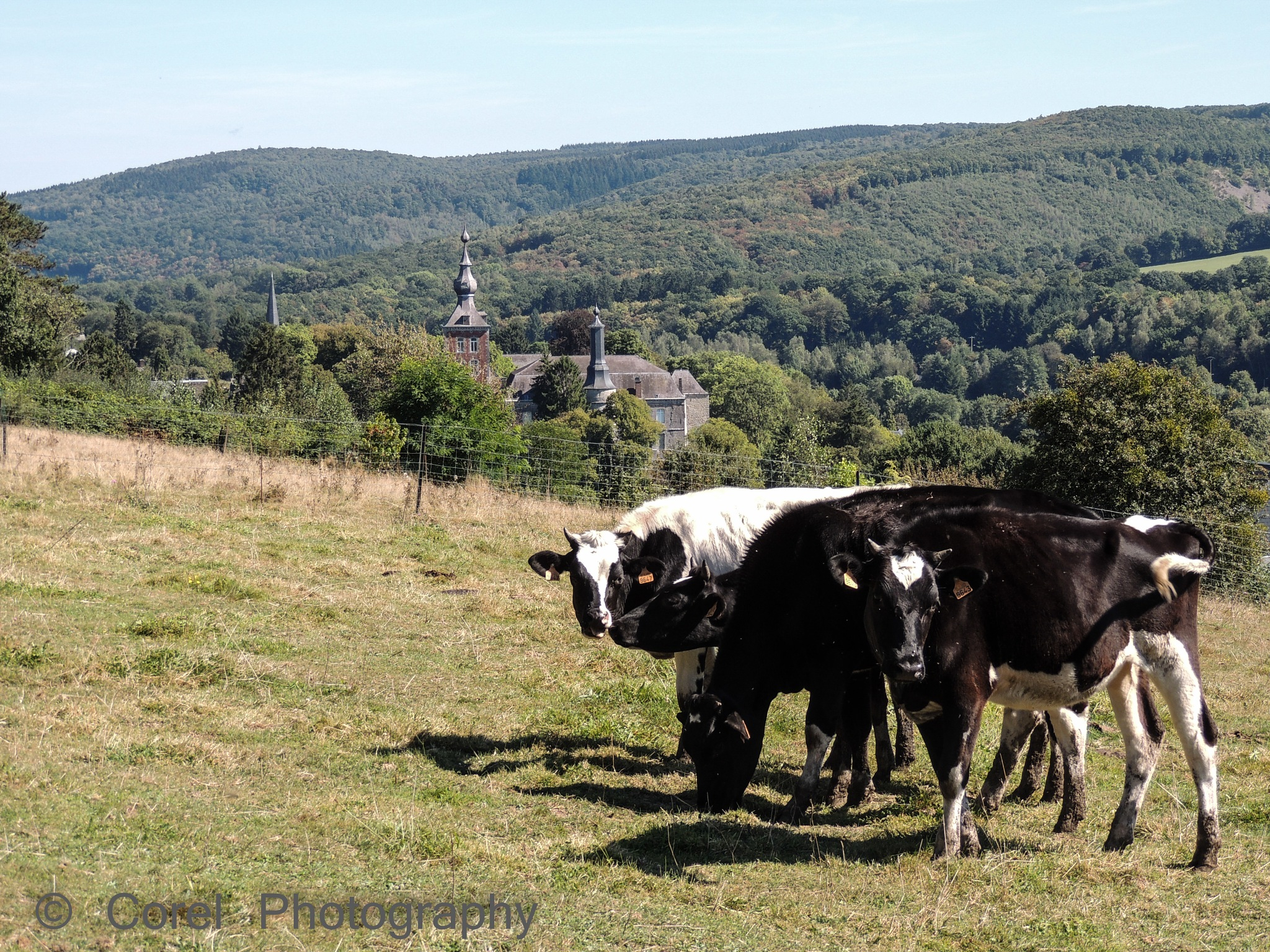 Cows by CorelPhotography