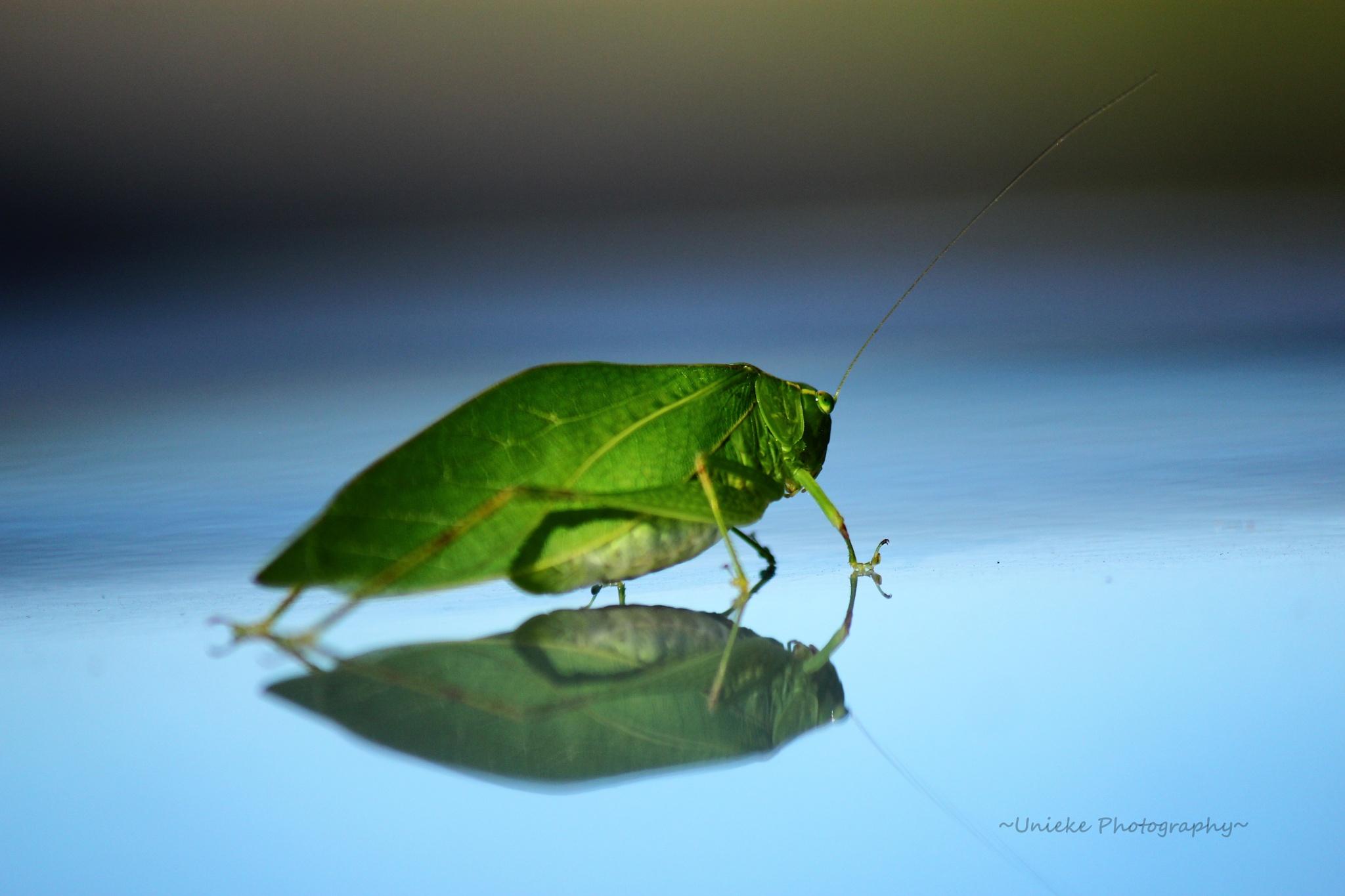 Katydid on Display by ~Unieke Photography~
