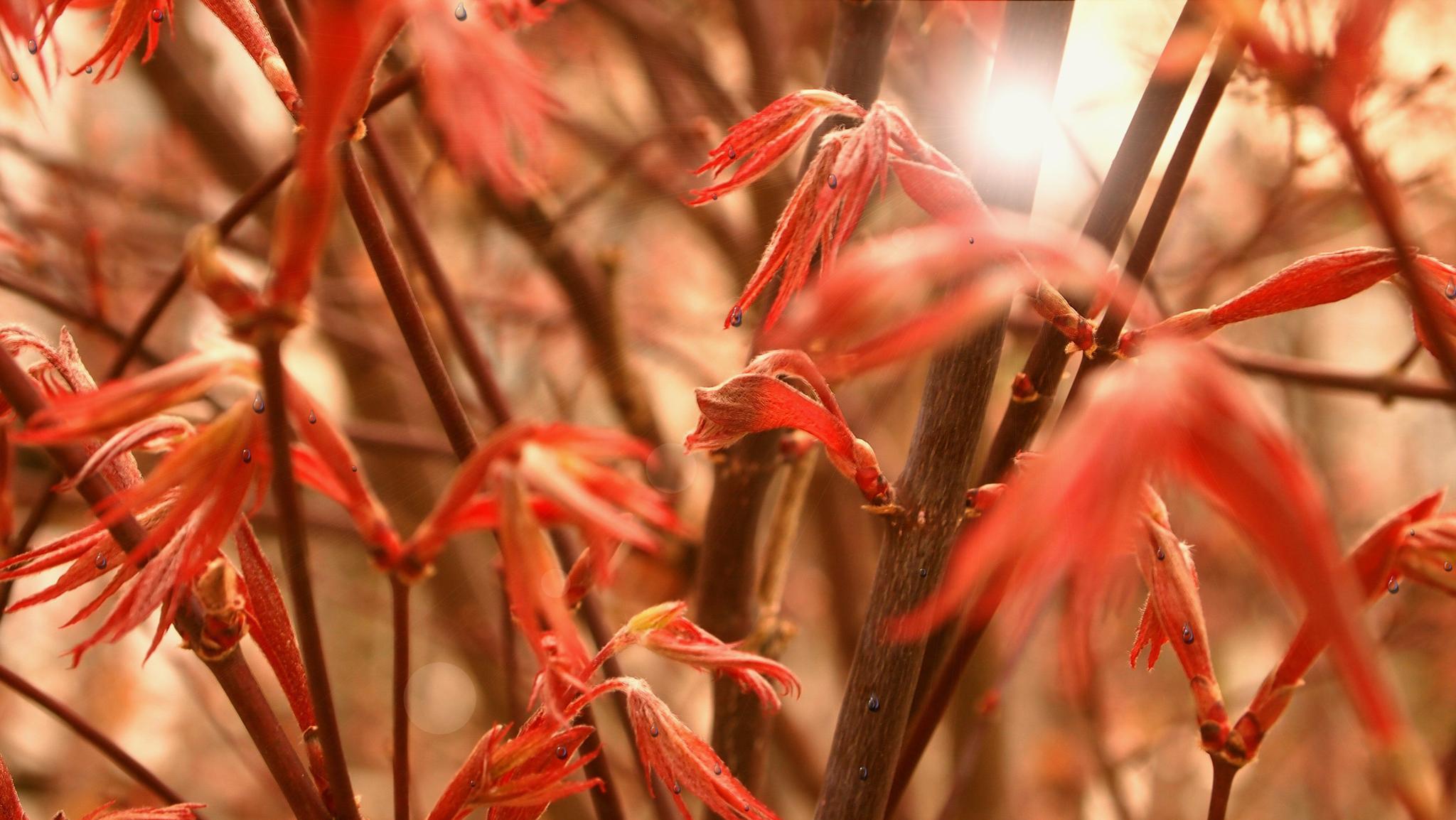 japanese maple rain by Joanna Schultz