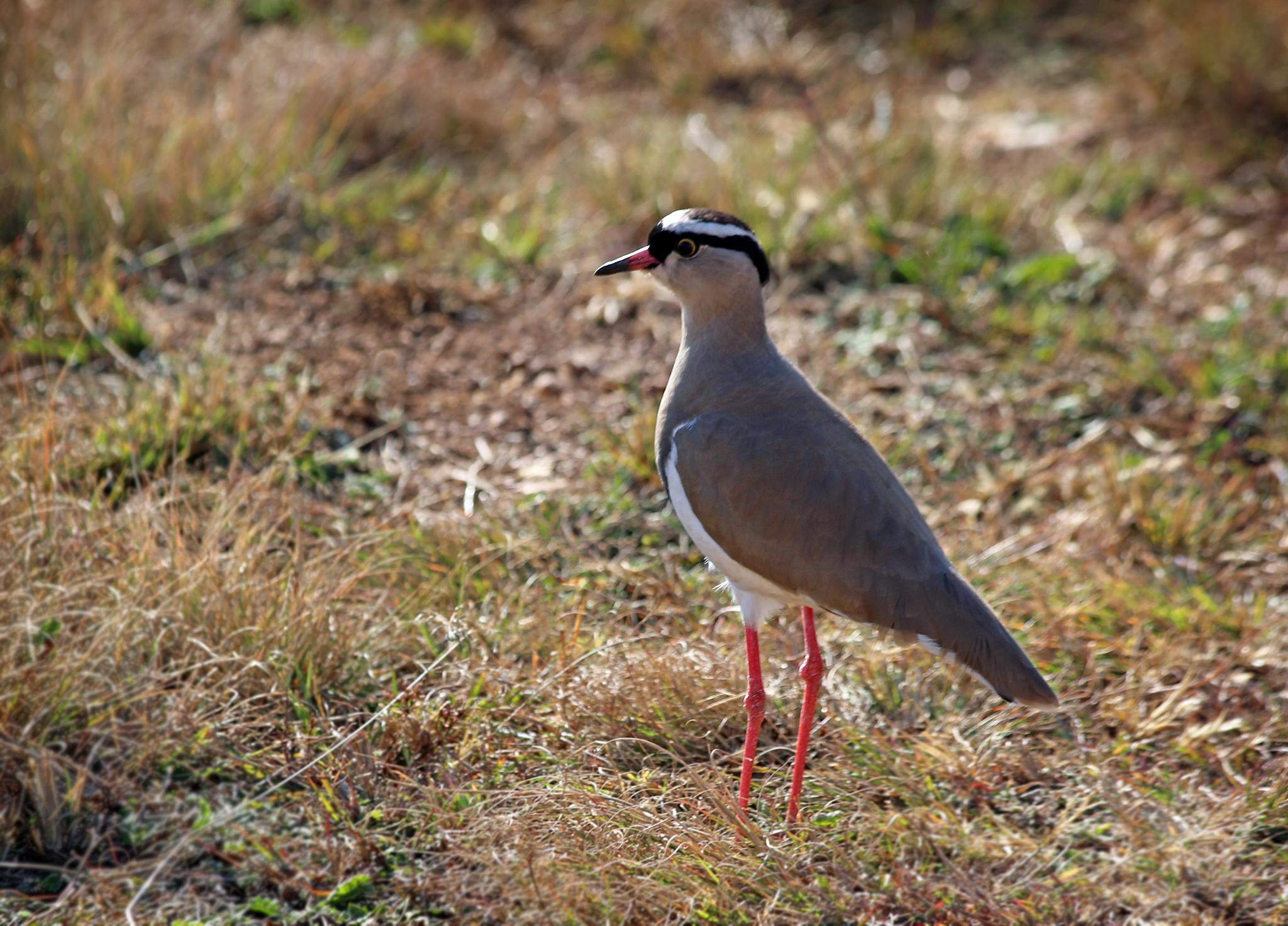 Plover 01 by susan.burger.10