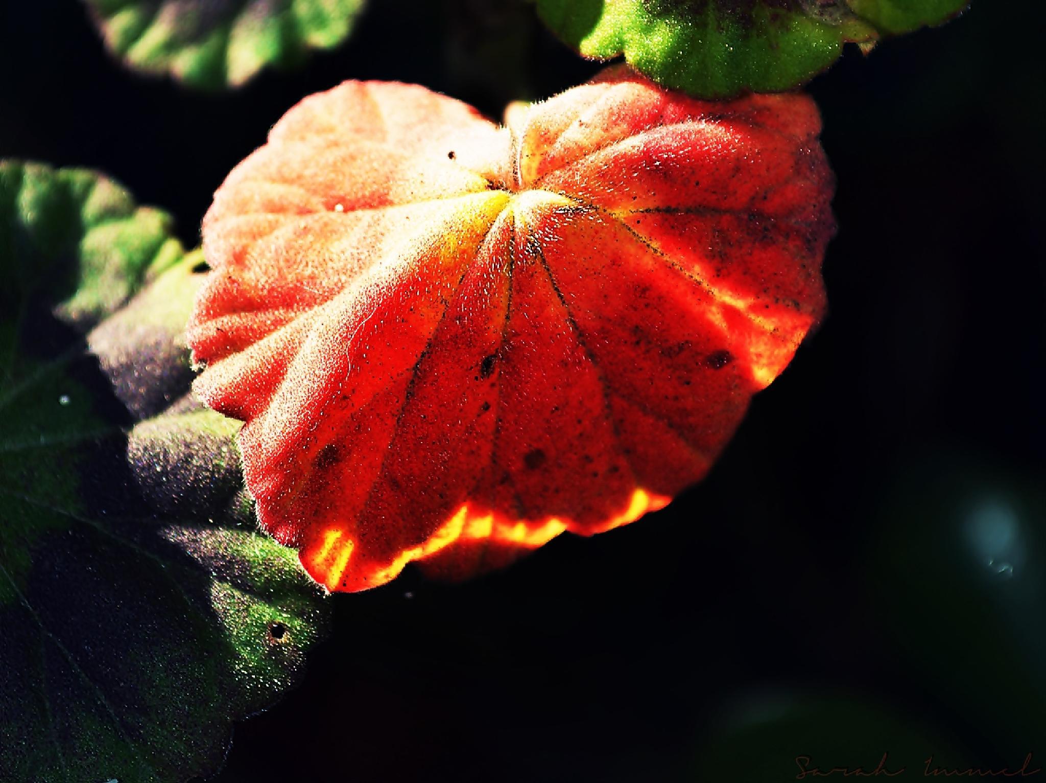 Flaming Geranium Leaf.... by Sarah Immel