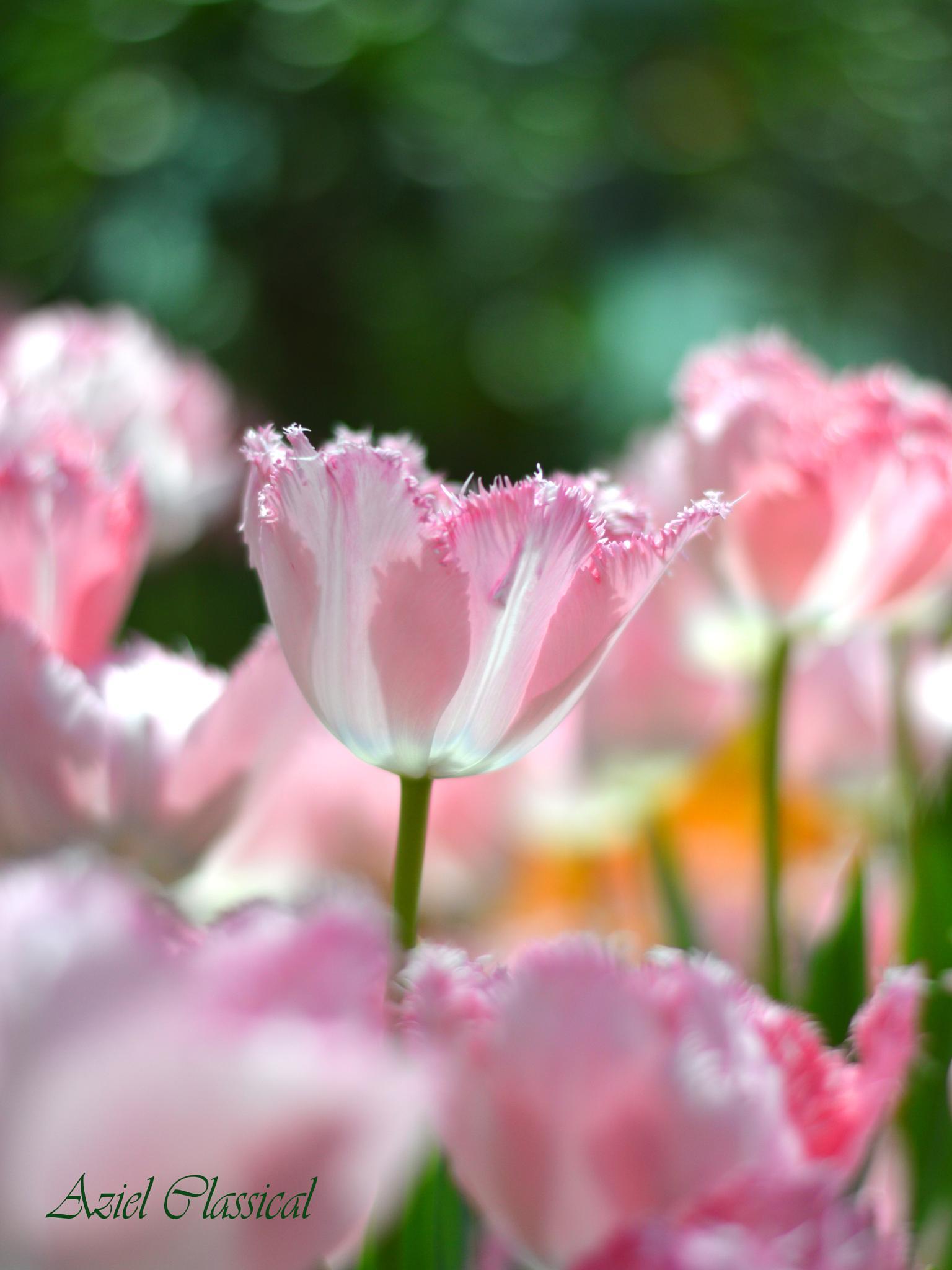Beautifull Tulips by eko.prasetyo