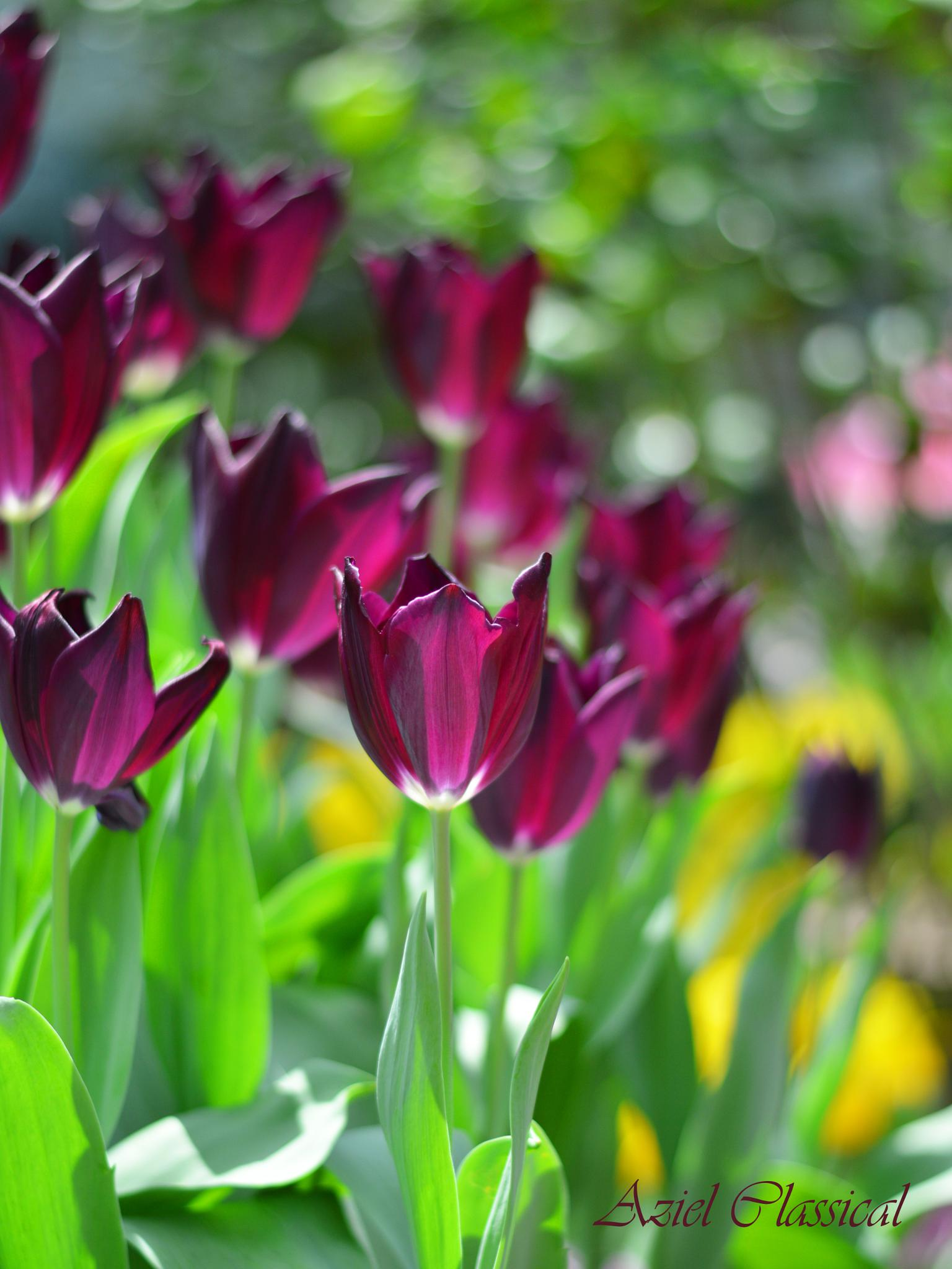 Beautifull Tulips by eko.prasetyo
