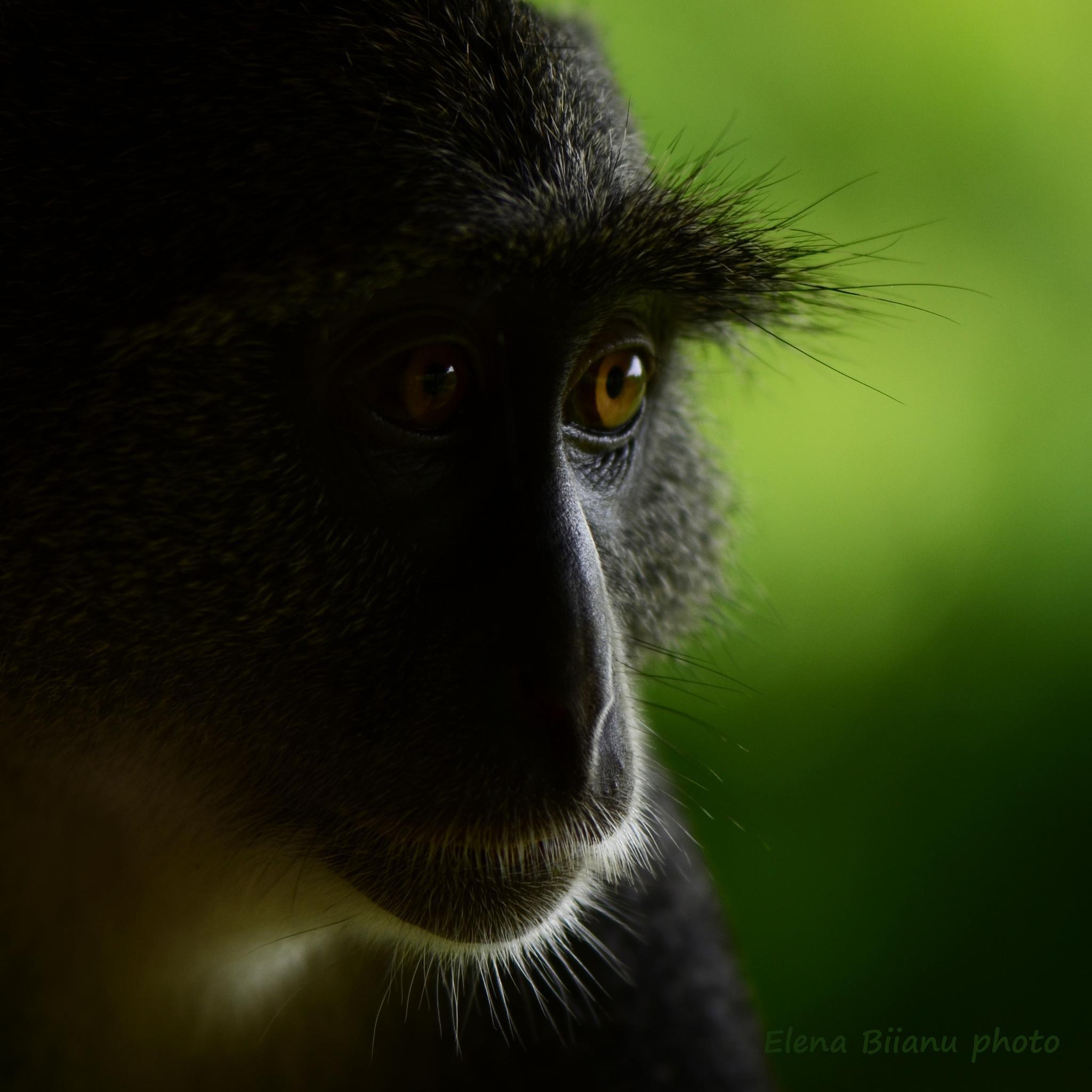 Monkey portrait by elena.biianu