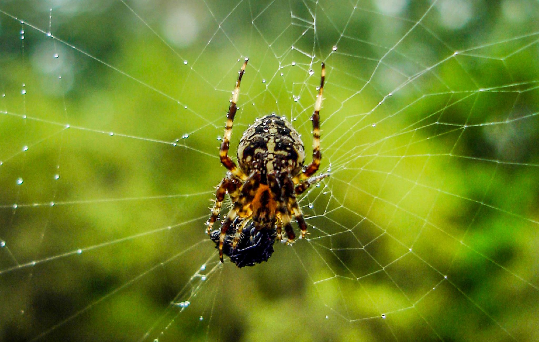 Old macro of spider. by kent.otterdahl